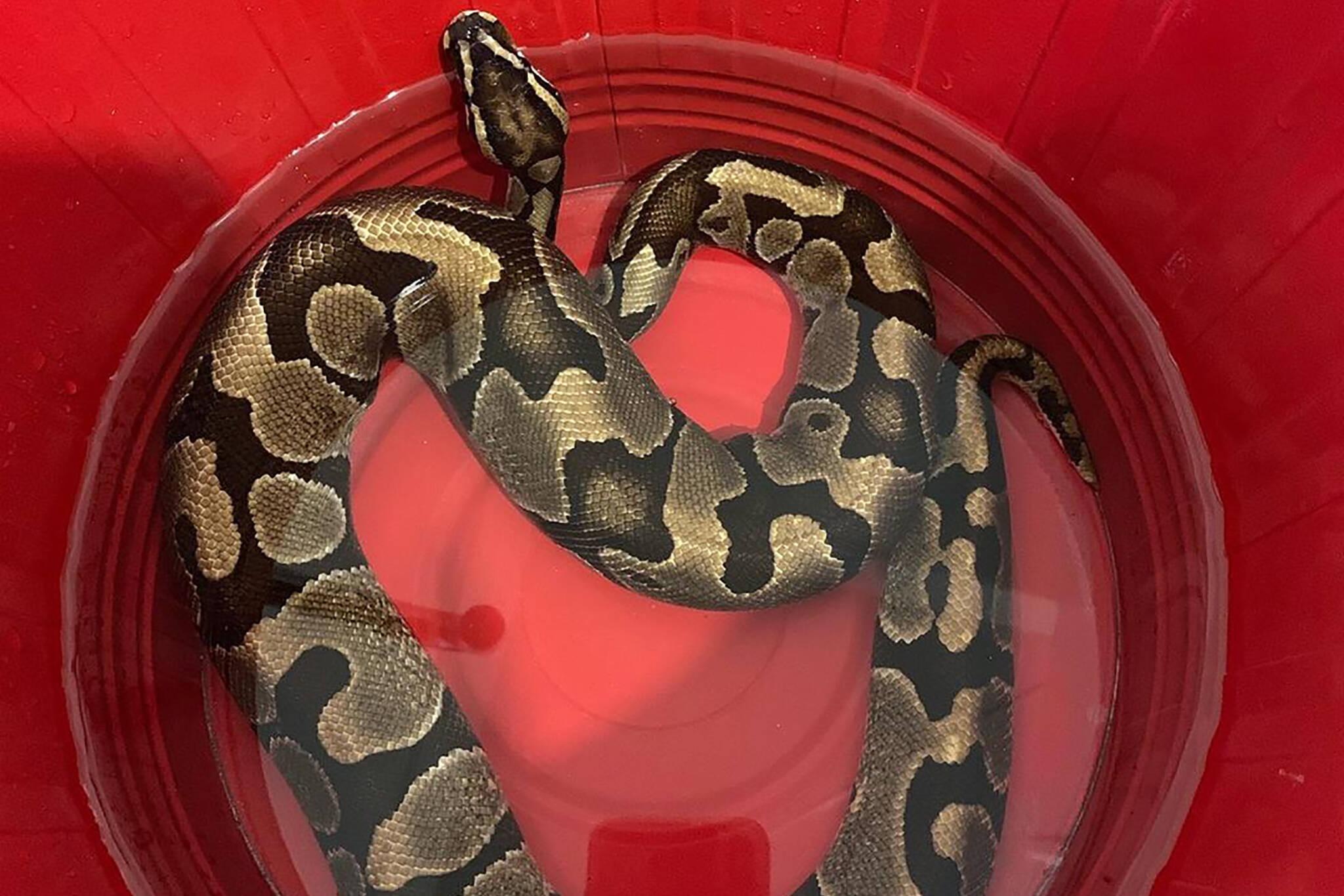 python snake toronto