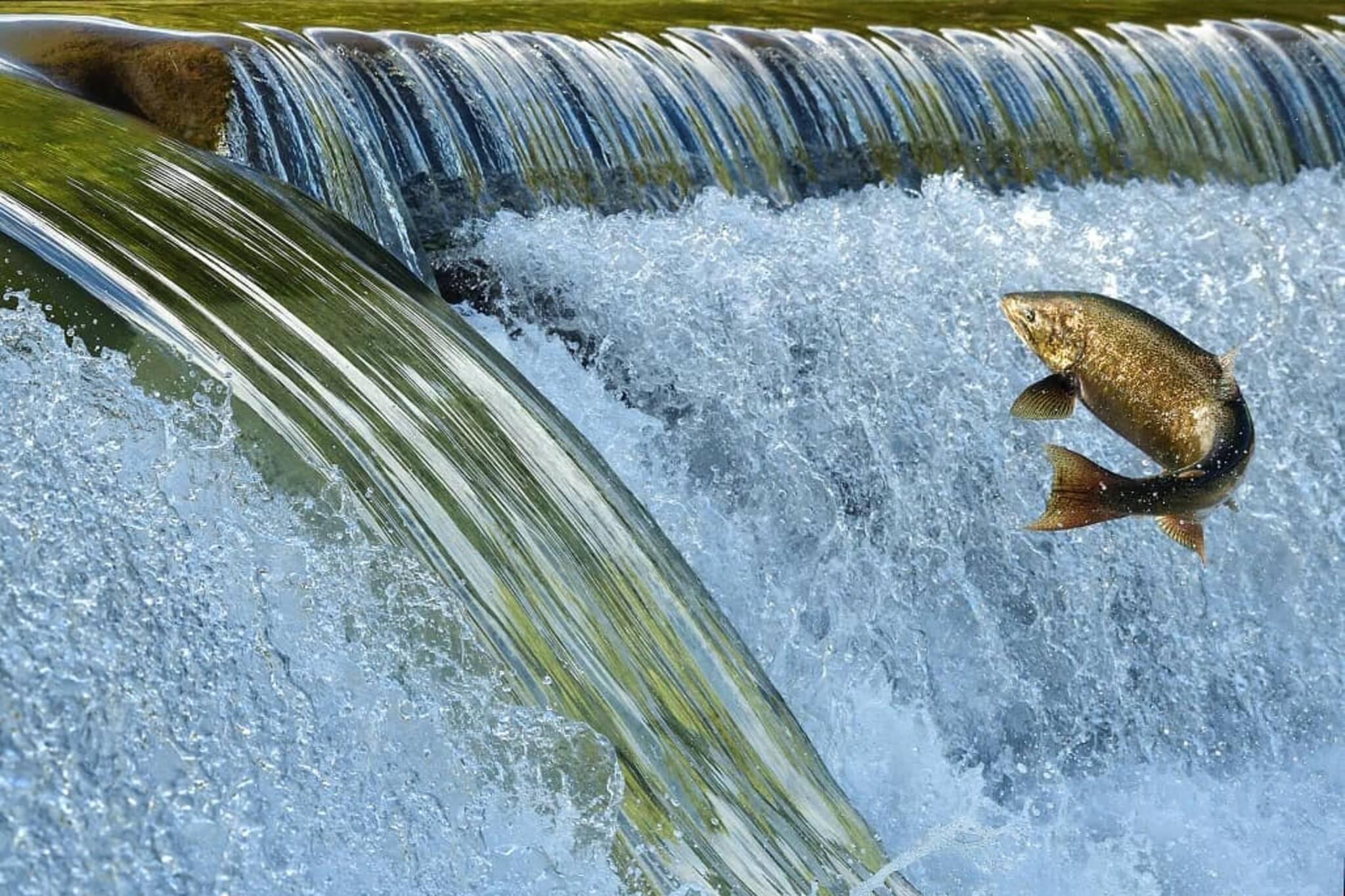 salmon run toronto