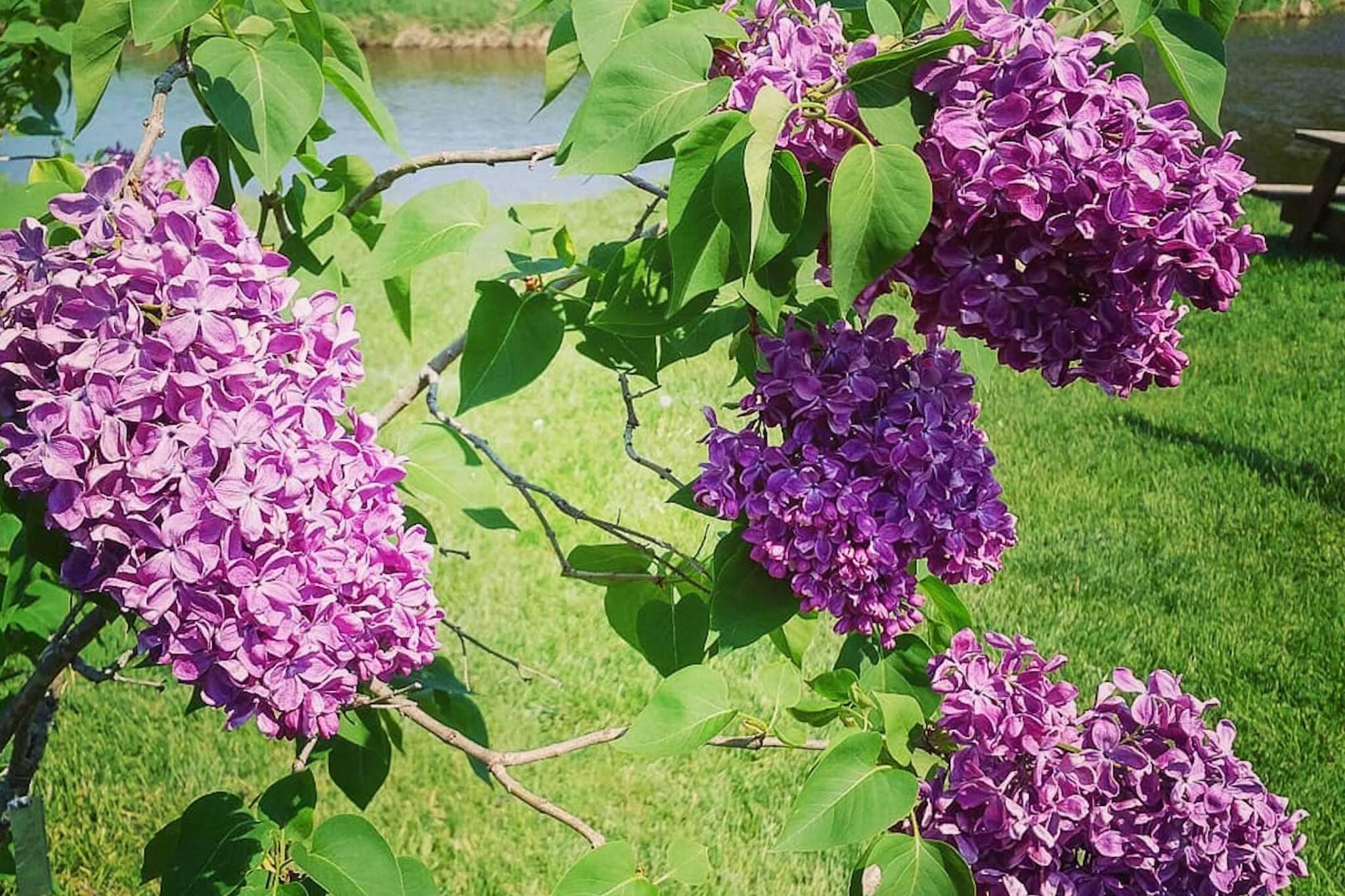 Warkworth Lilac Festival