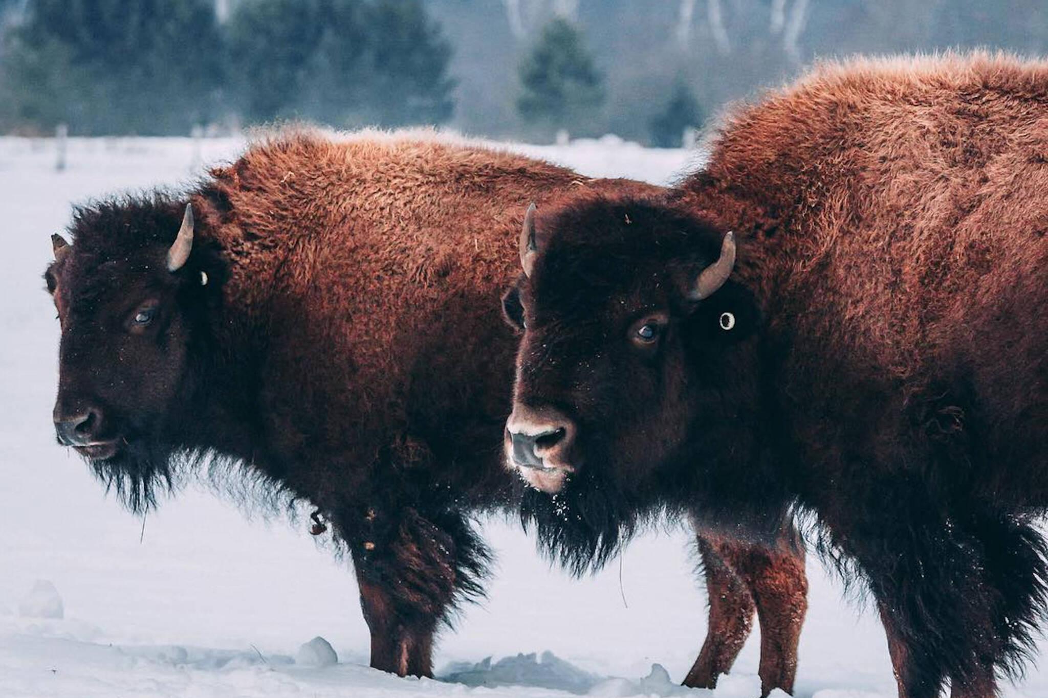 buffalo farm