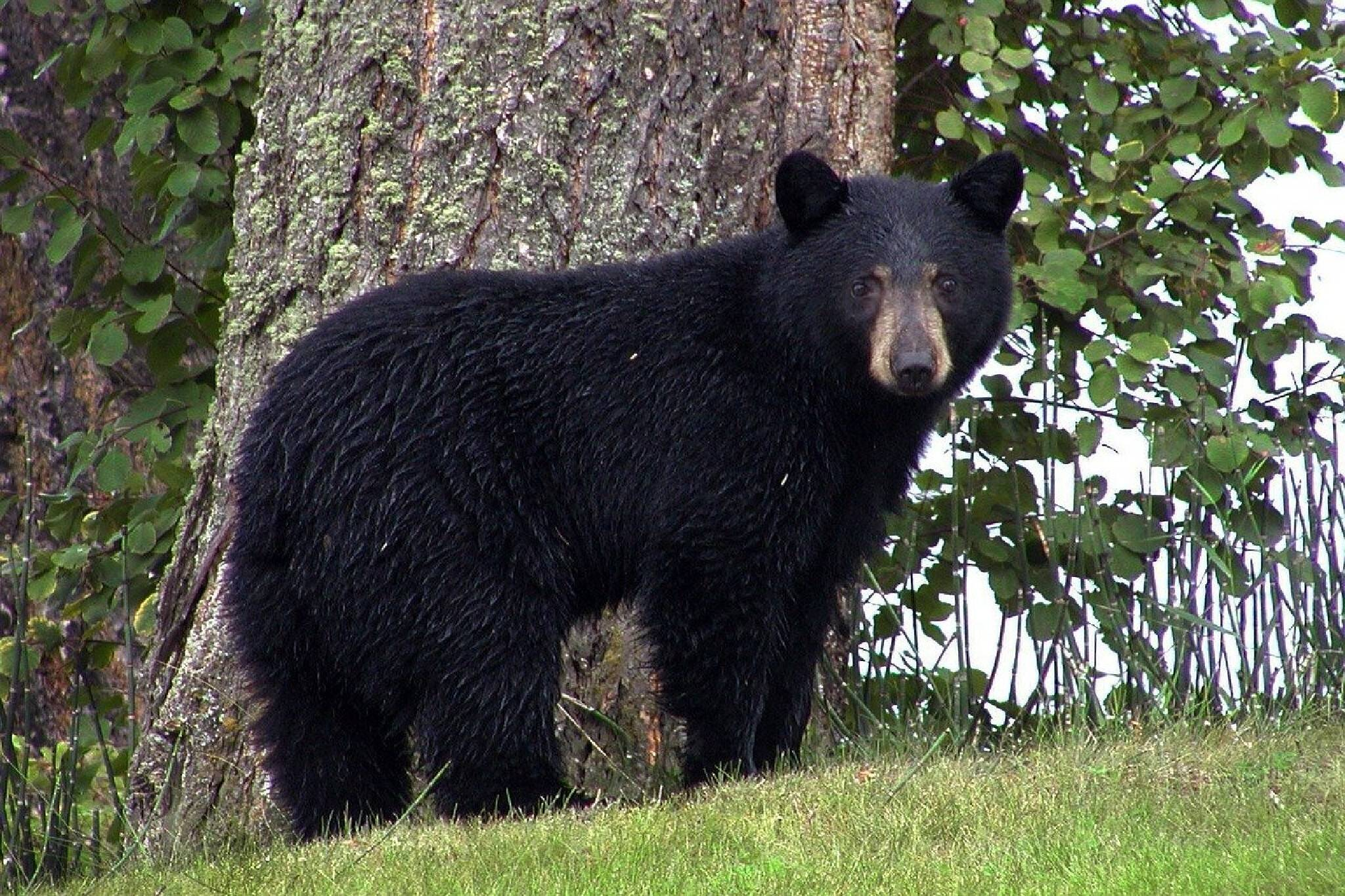 ontario black bear hunt