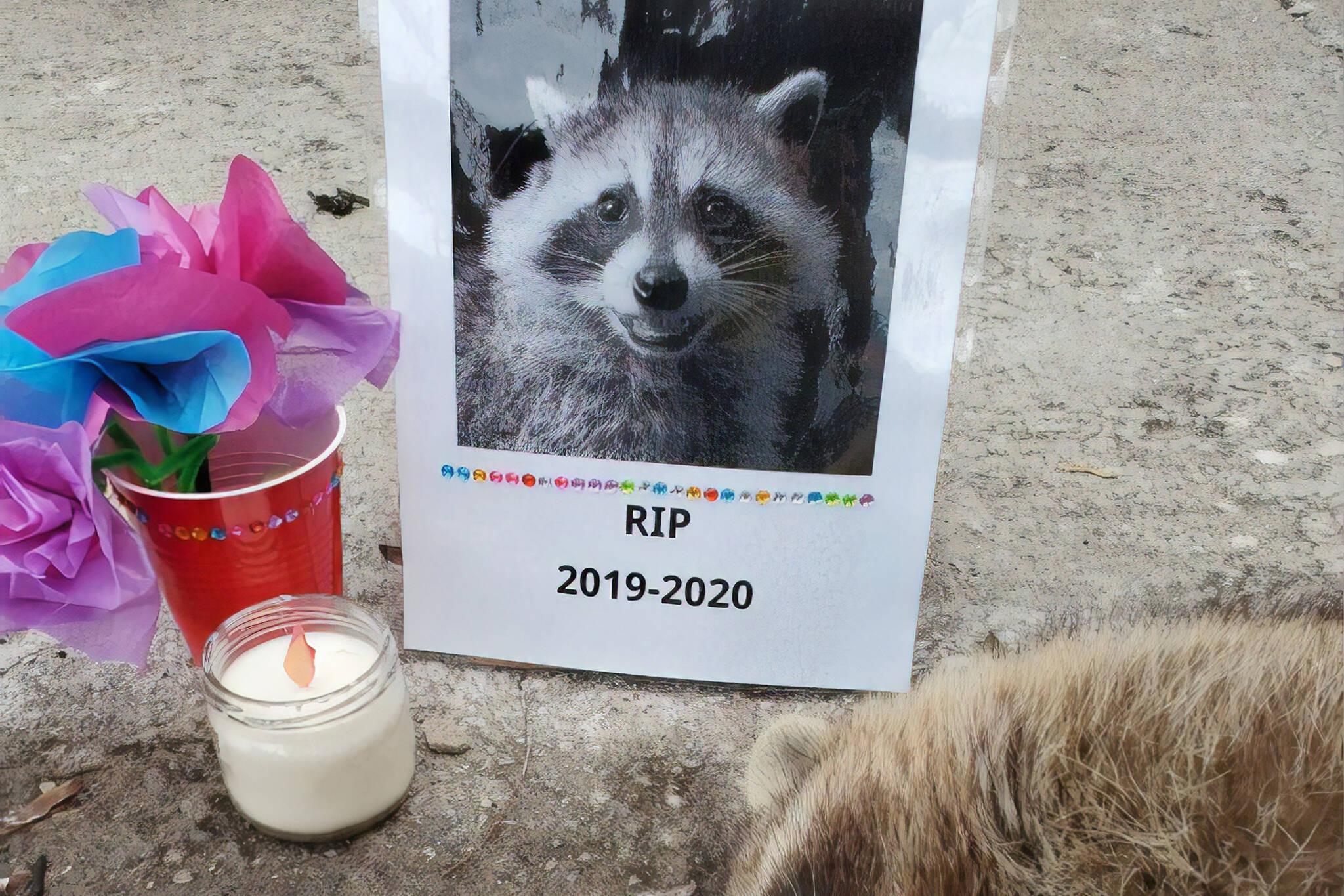 toronto dead raccoon