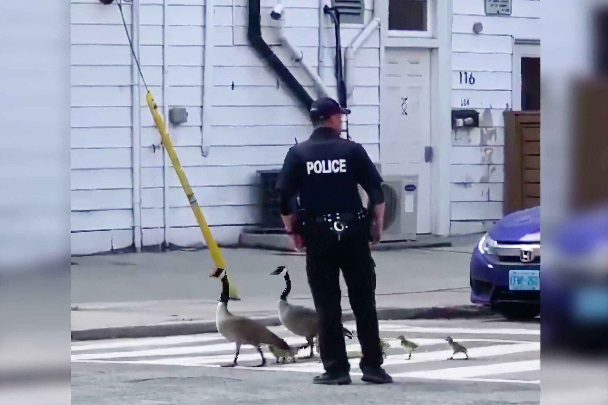 toronto geese crossing