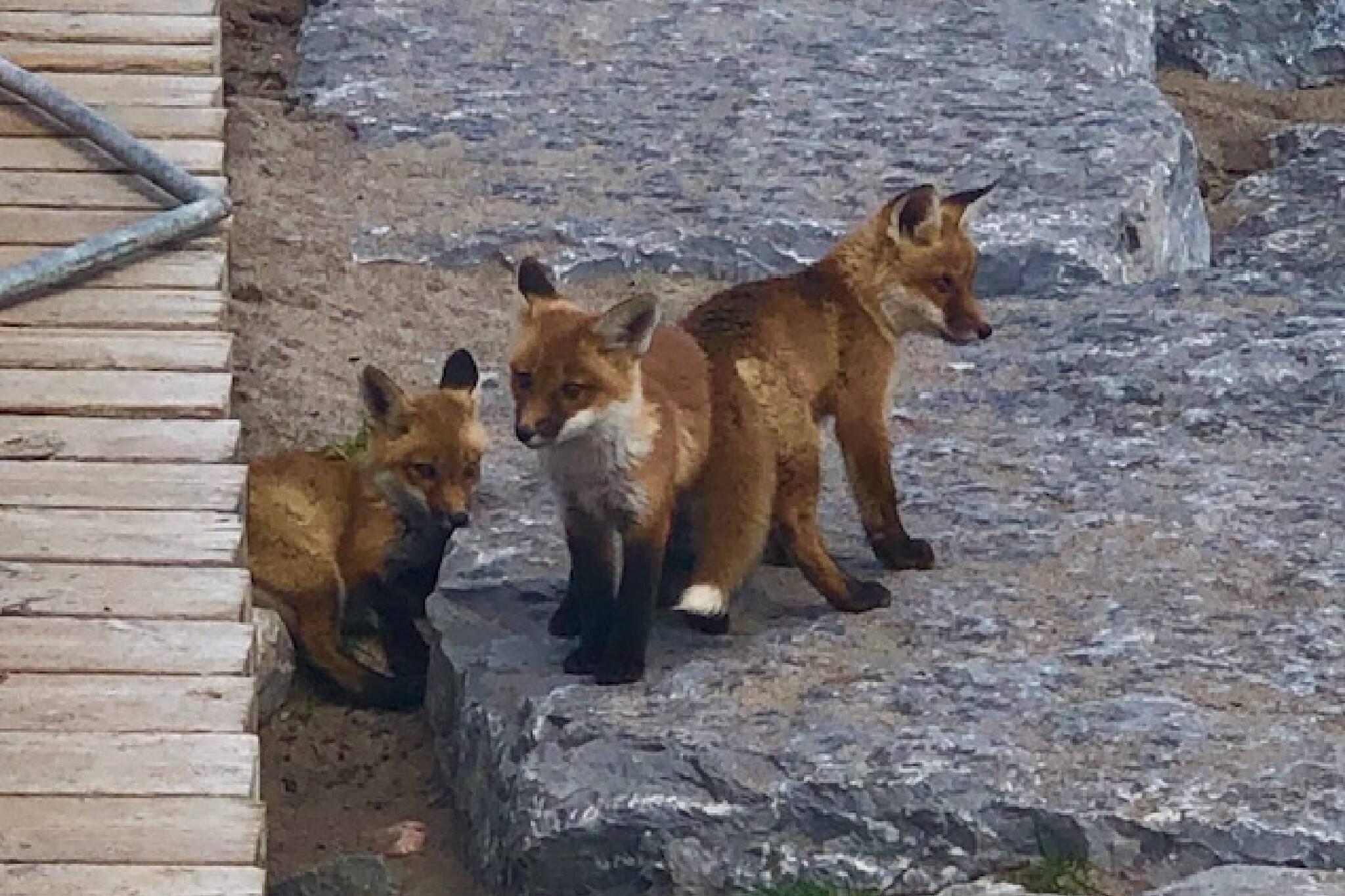 toronto foxes