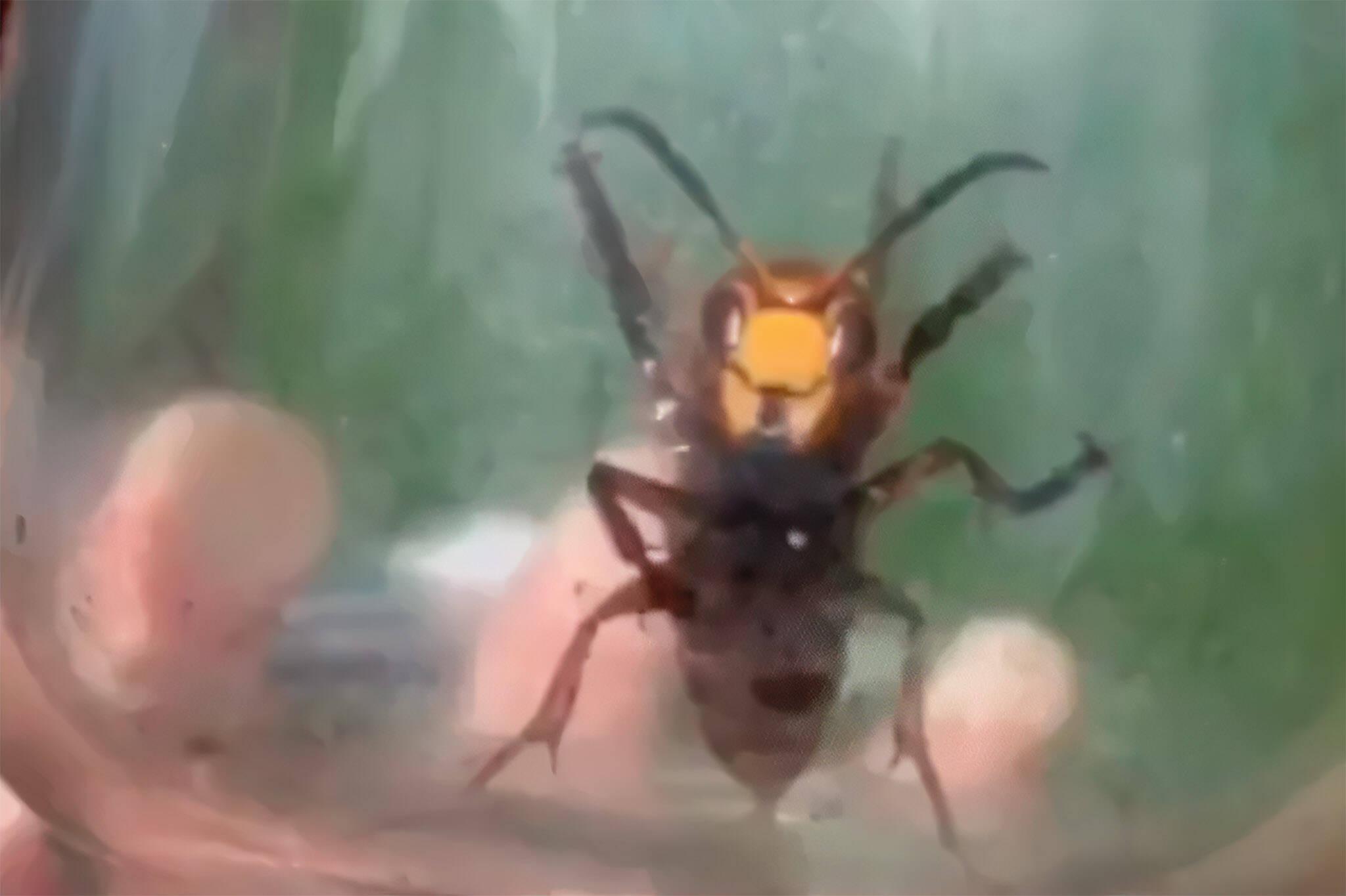 murder hornets ontario