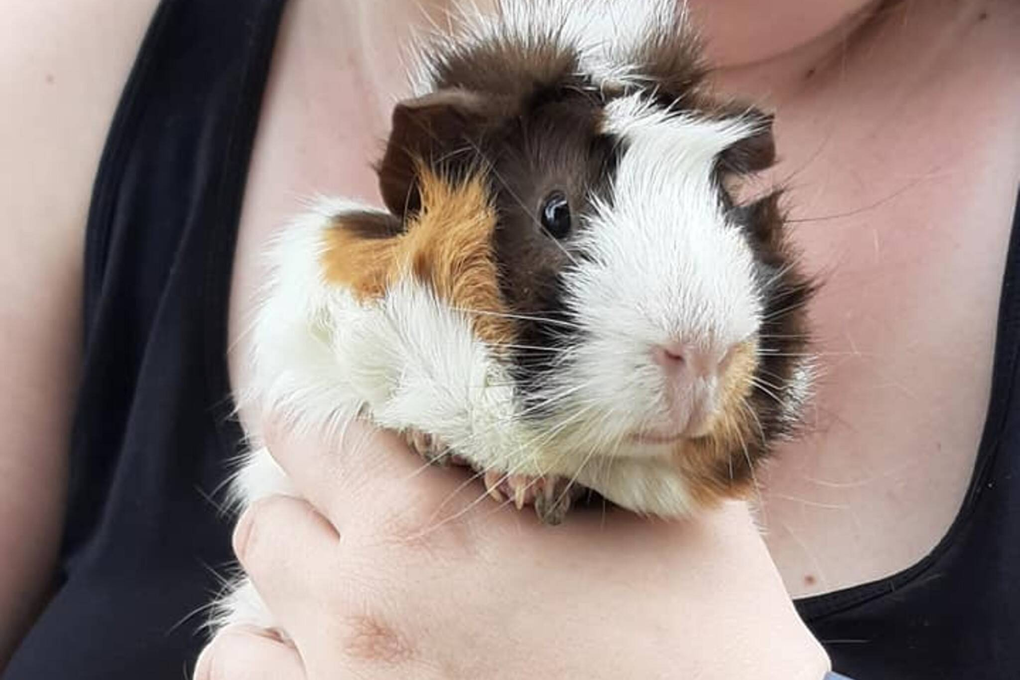 guinea pigs waterloo