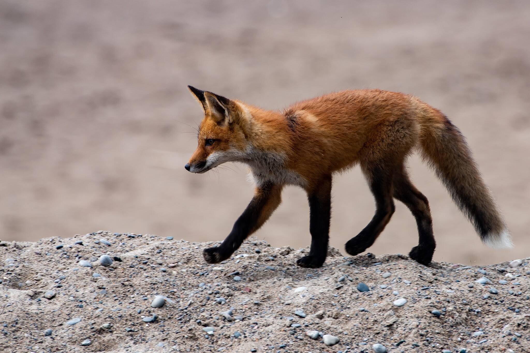 Volunteers To Stop Protecting Family Of Foxes In Toronto After Threats And Verbal Abuse