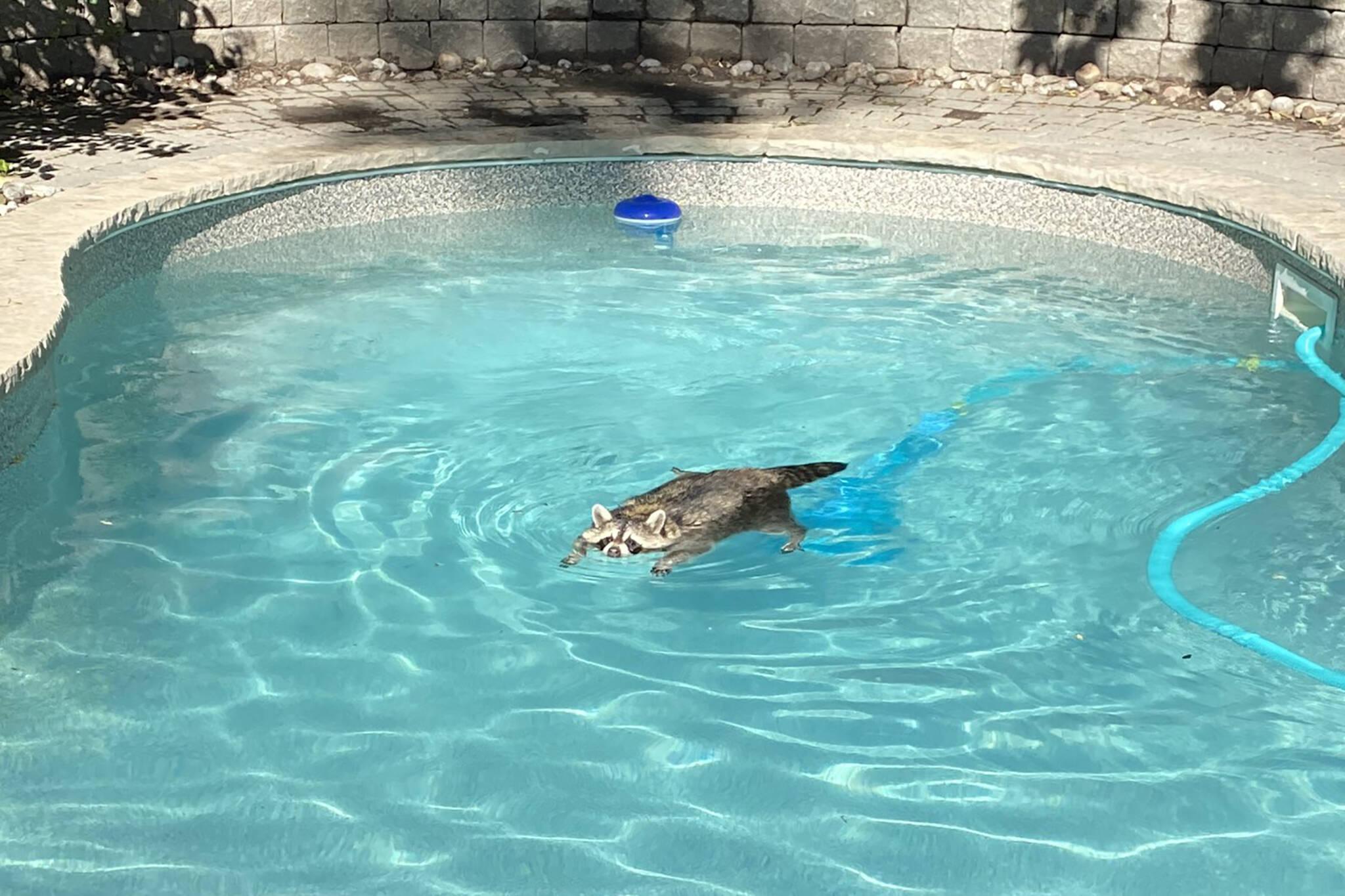 toronto raccoon swimming