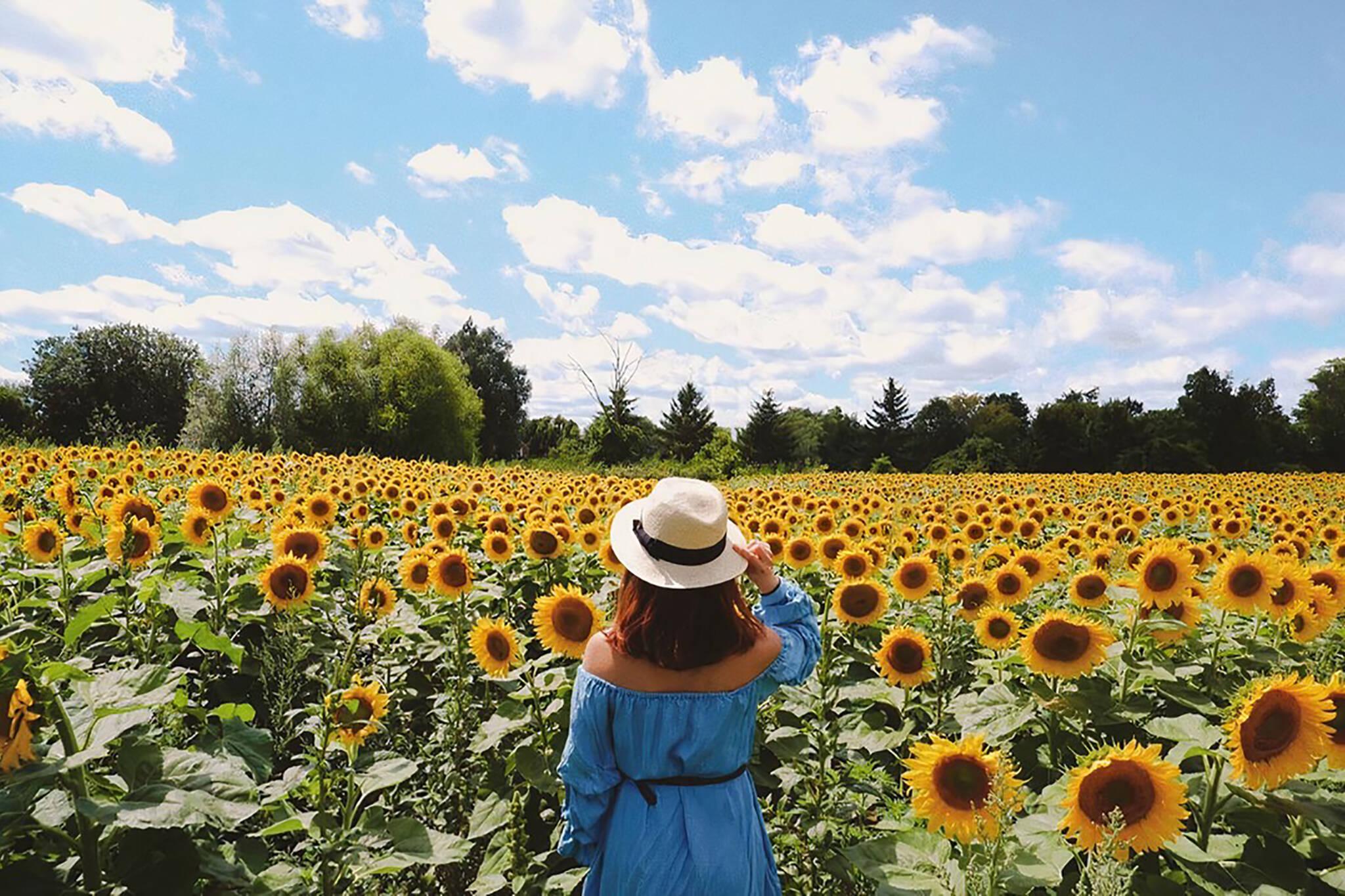 sunflower farms near torontoi