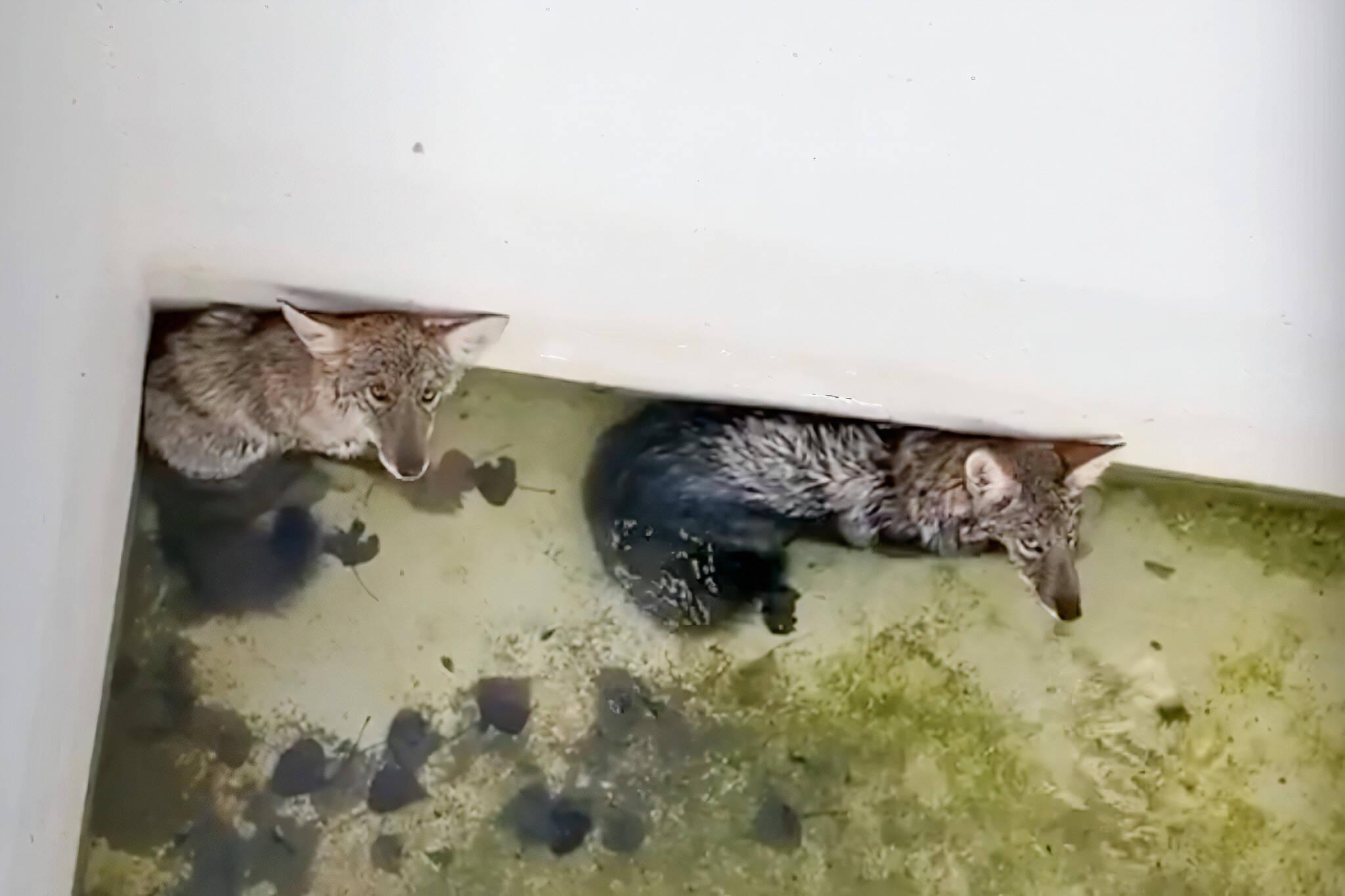 coyote rescue toronto