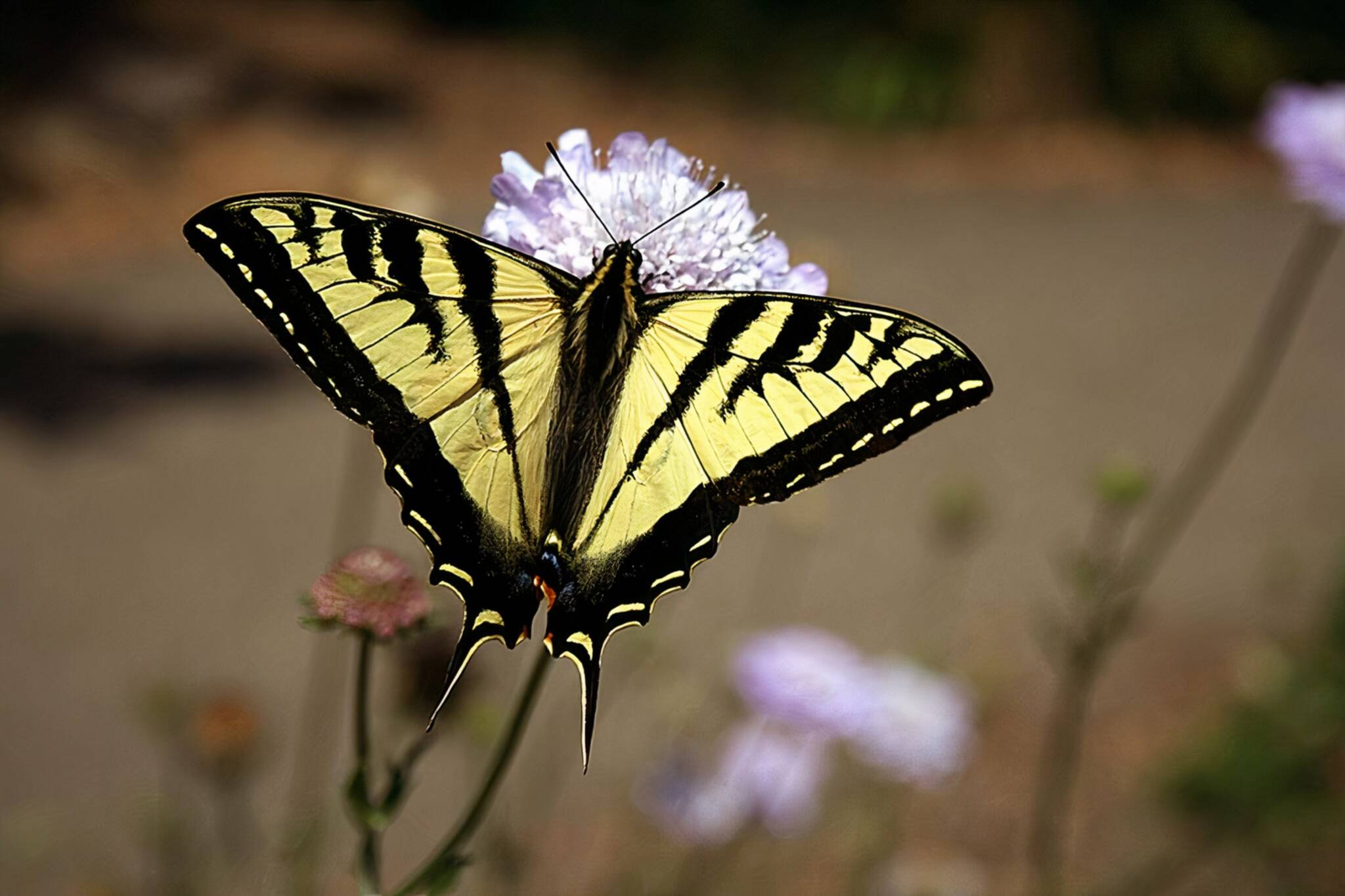 project swallowtail