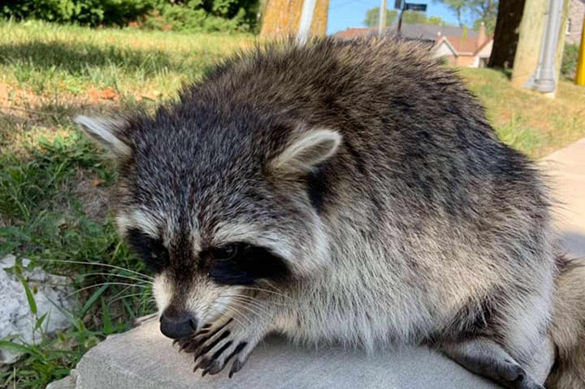 distemper in raccoons toronto