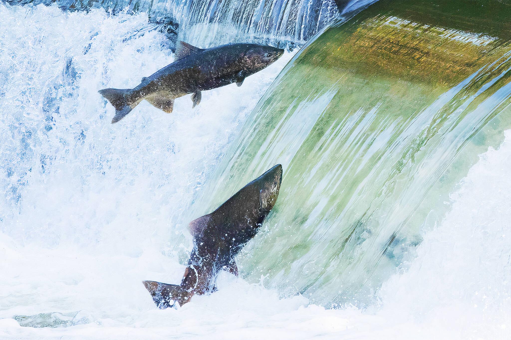 salmon toronto