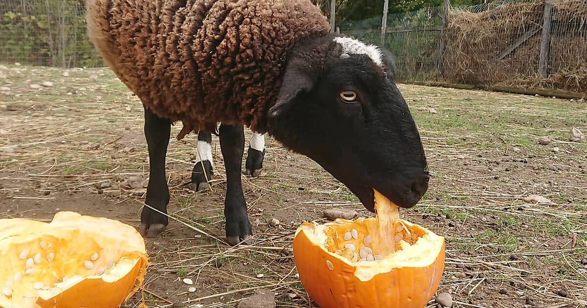 The animals at this sanctuary are obsessed with leftover Toronto Halloween pumpkins