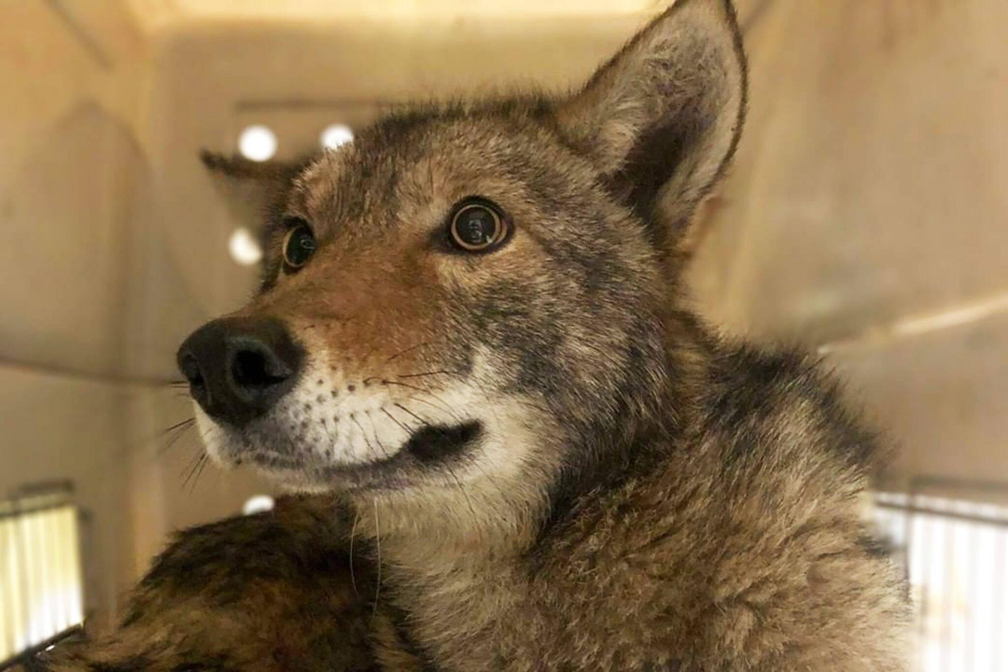 coyotes toronto