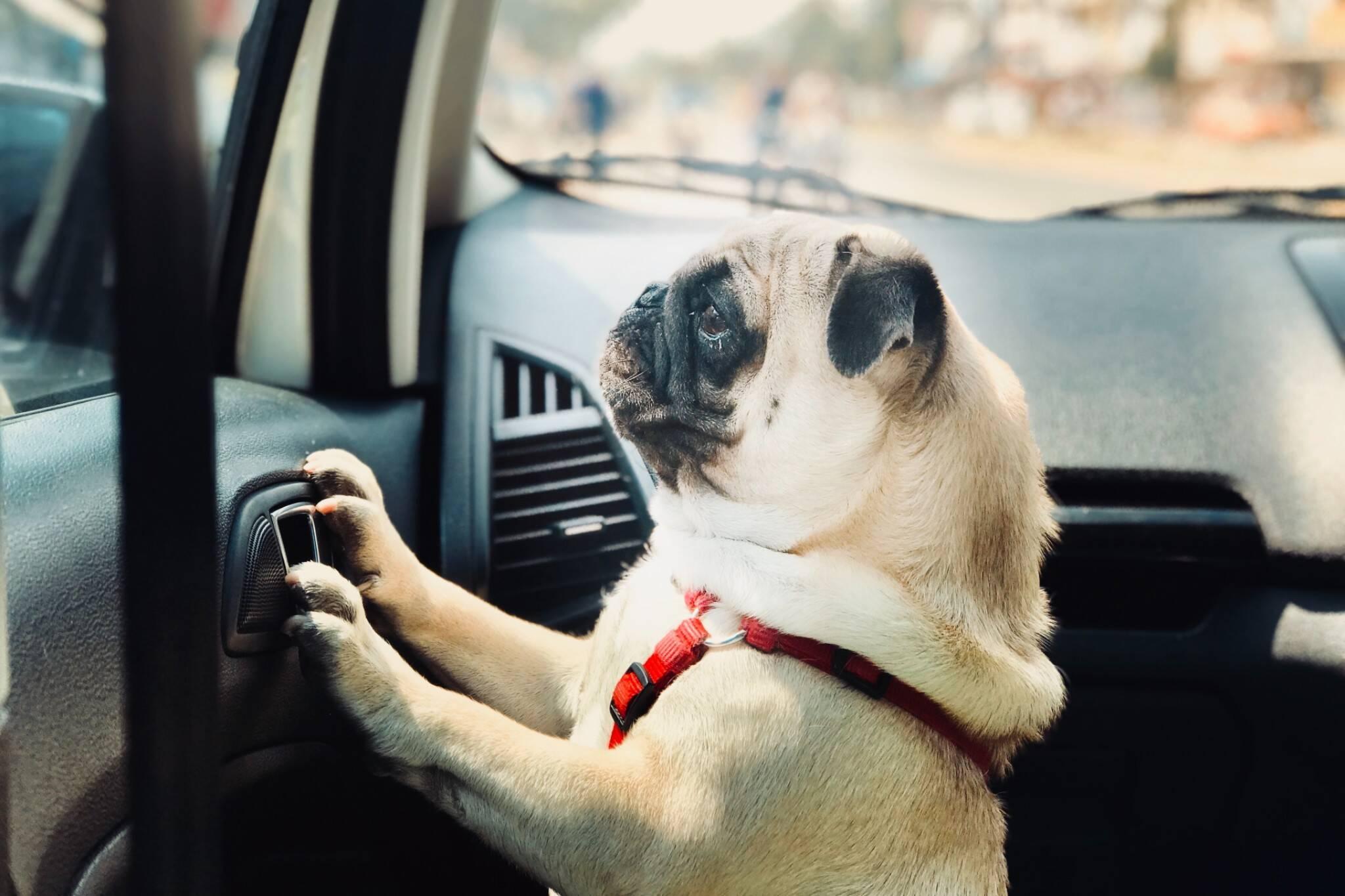 opp collision dog