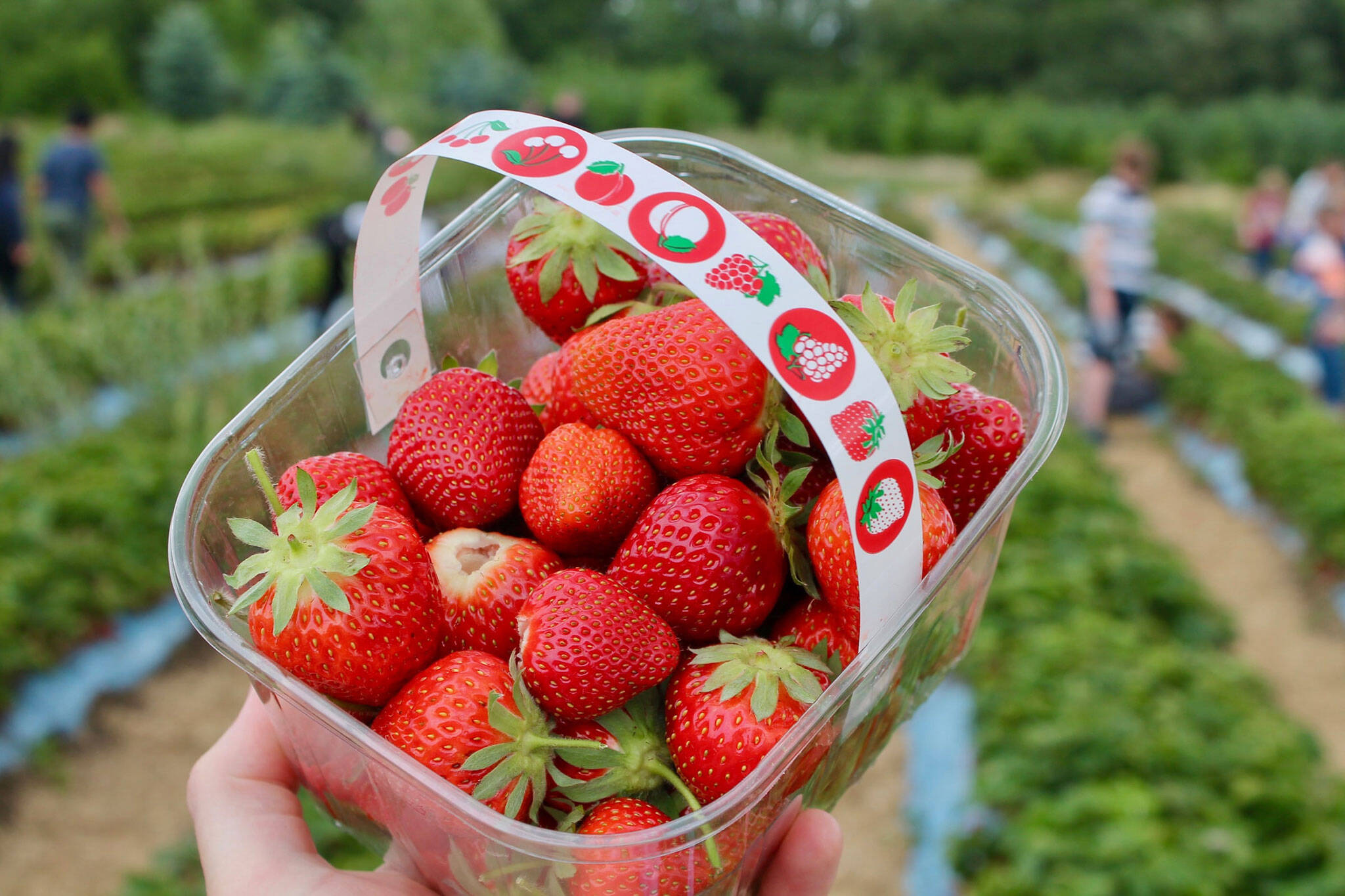 10 Farms For Strawberry Picking Near Toronto