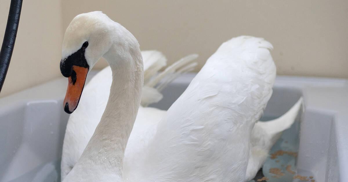 トロント野生生物センターは、白鳥が凧糸と釣り糸に絡まった後、白鳥を救出します