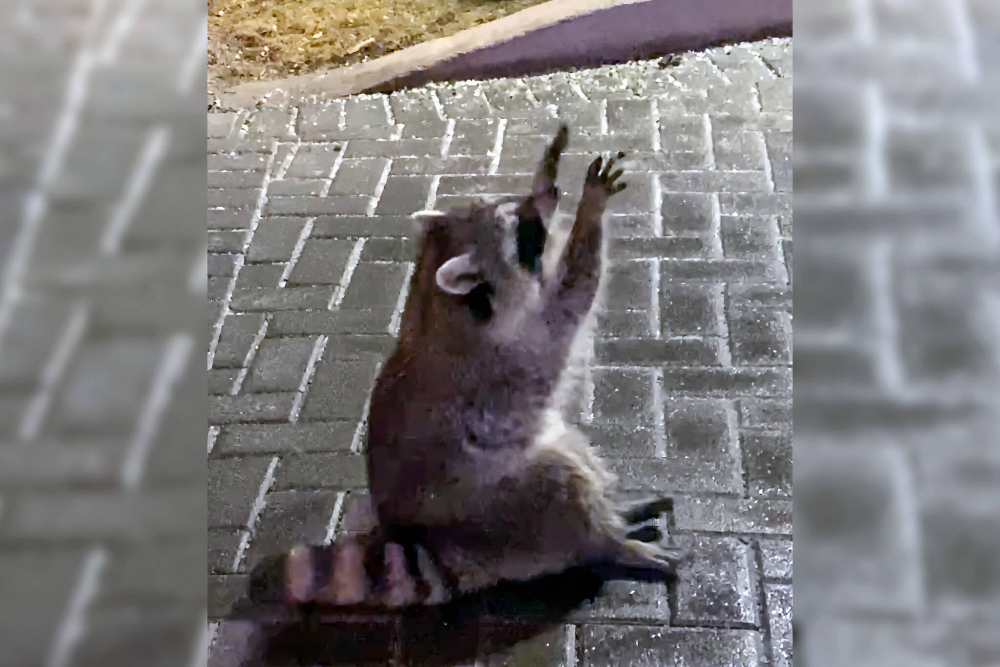raccoon snowflake video
