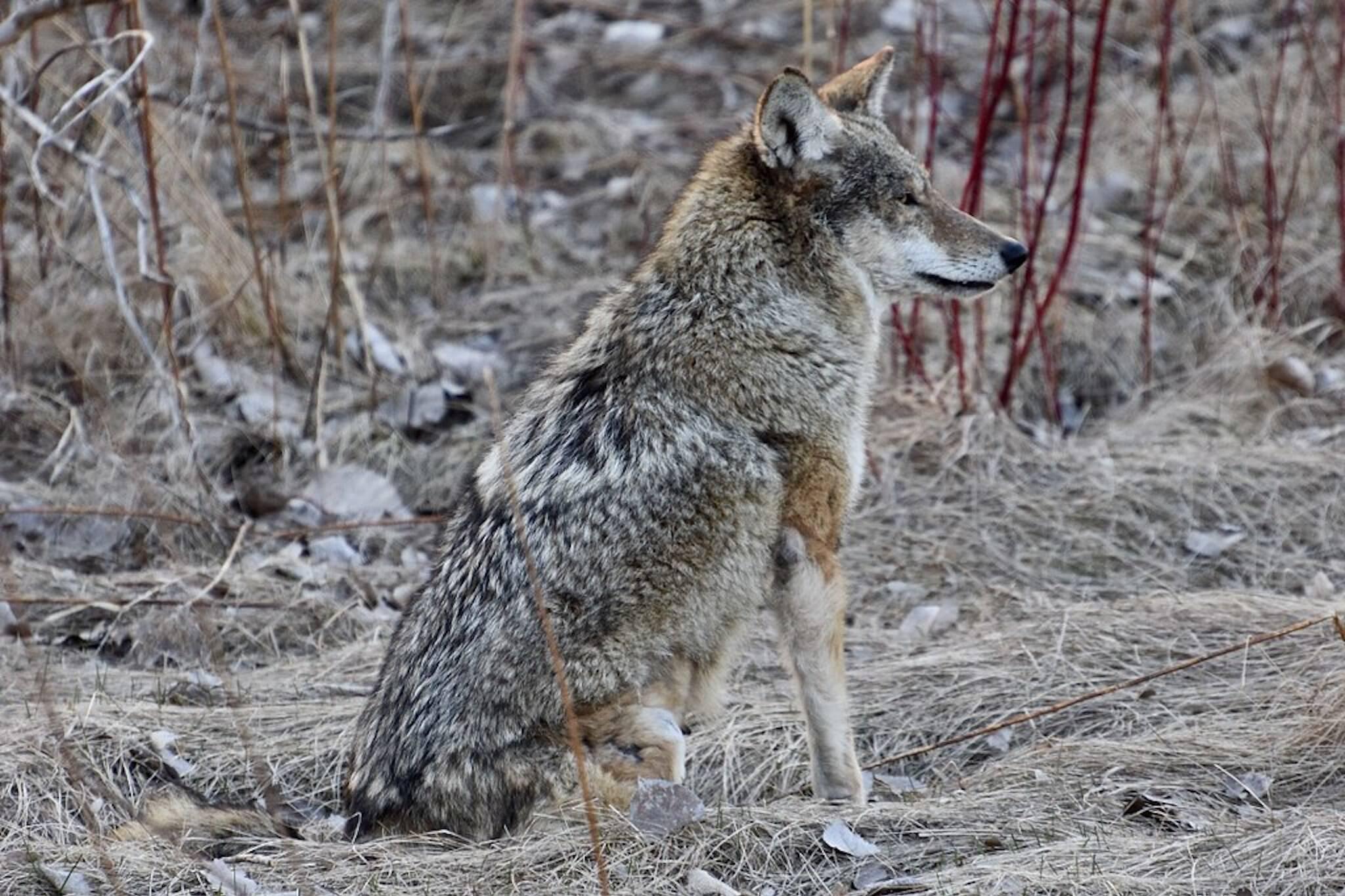 coyote attack toronto
