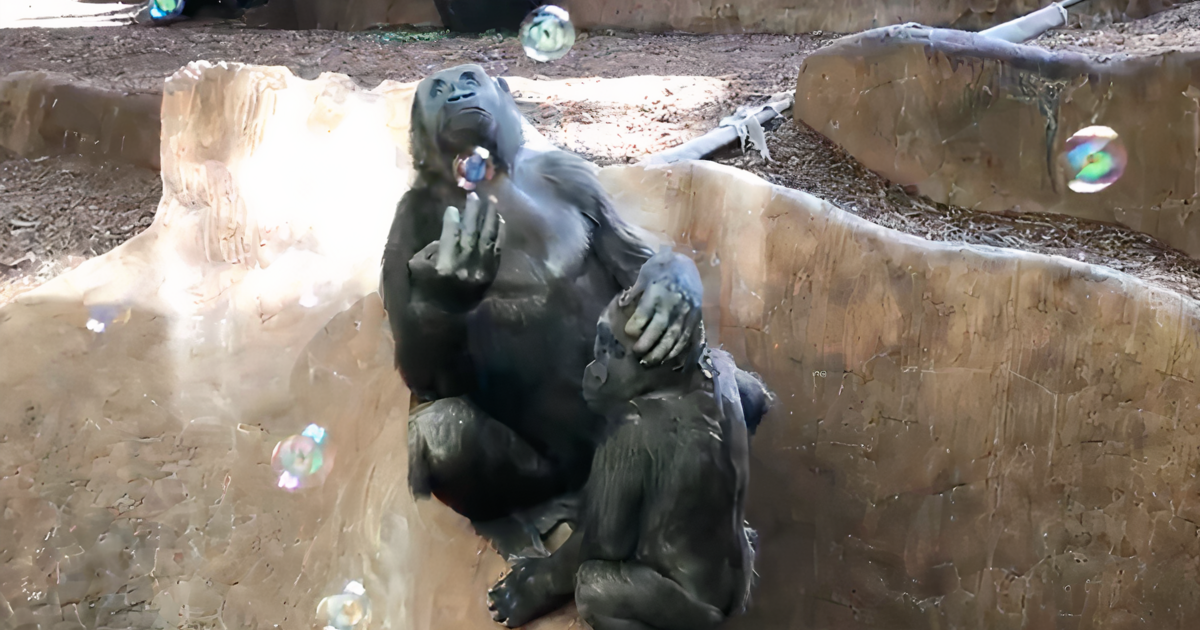 Toronto Zoo releases video of gorillas playing with bubbles and it's so cute it hurts