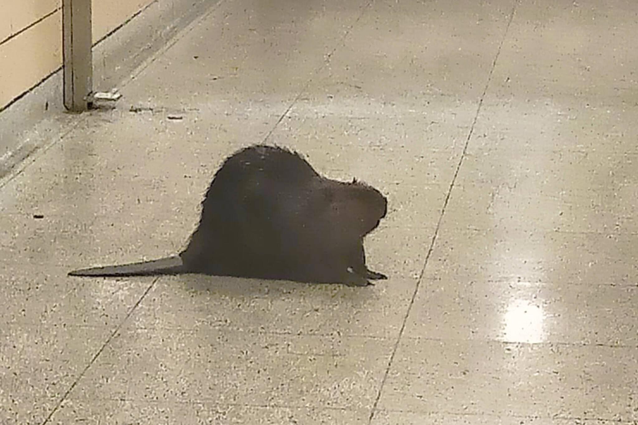 beaver toronto