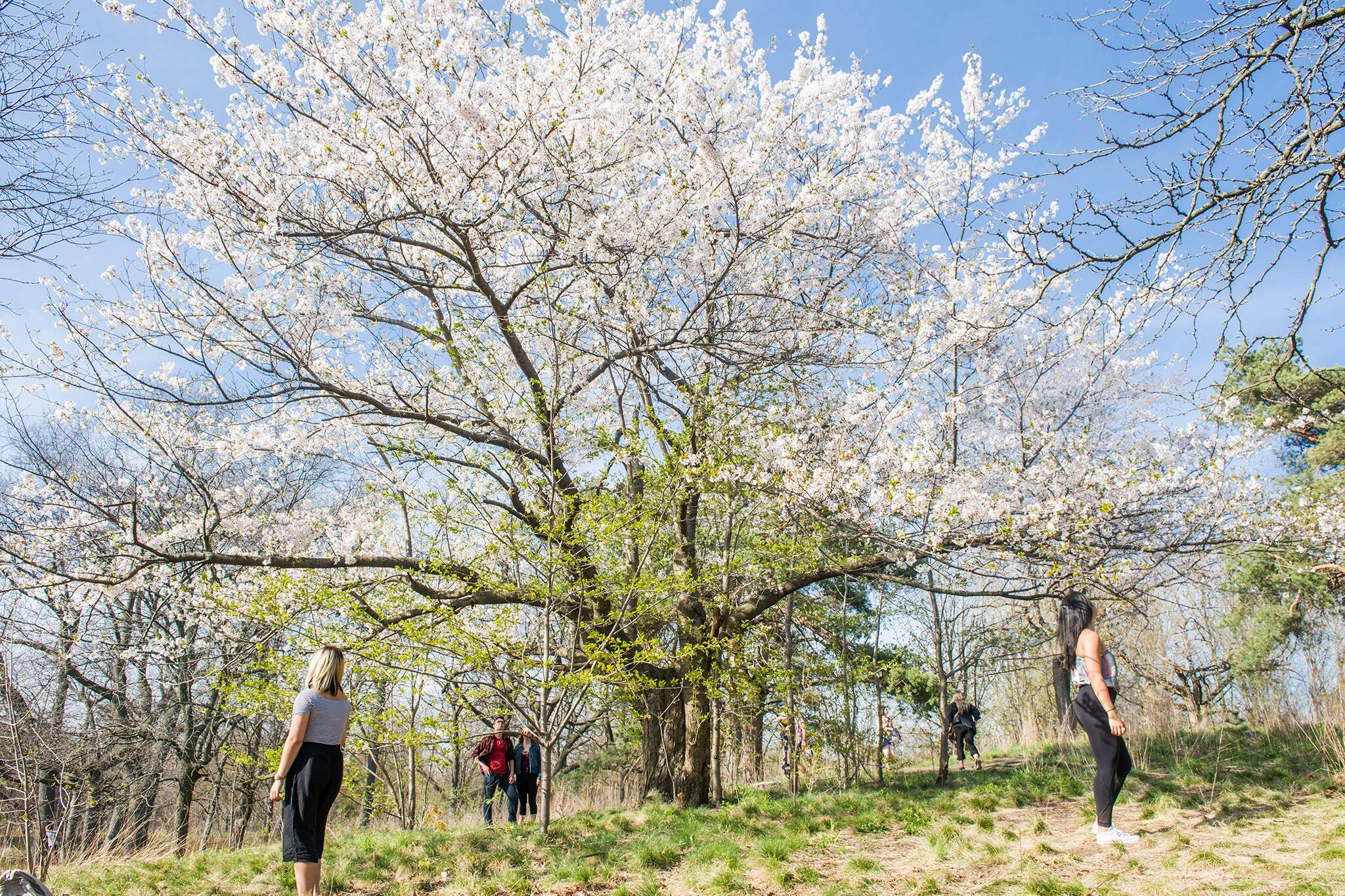 high park cherry blossom toronto 2021 dates