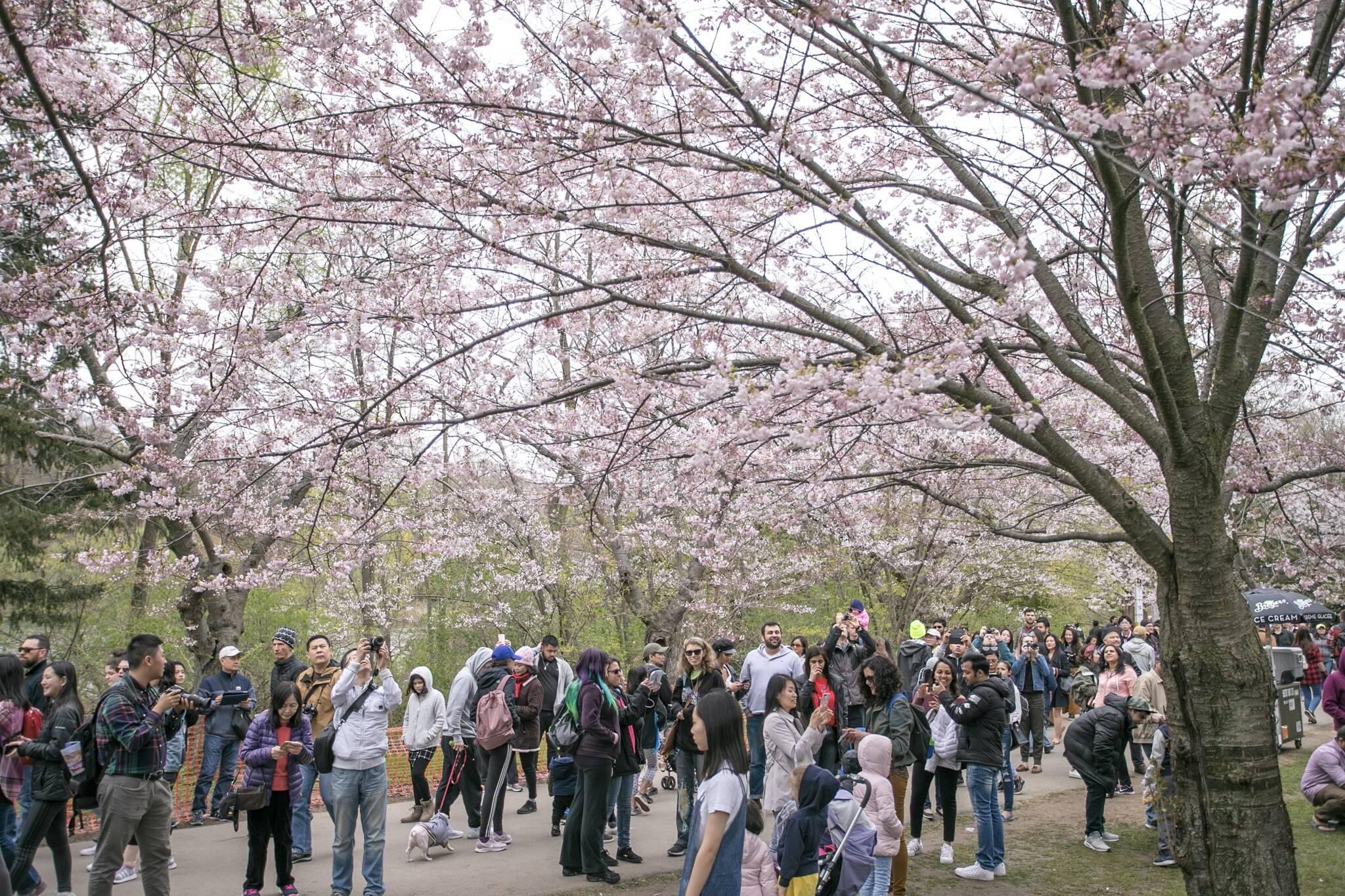 high park cherry blossoms 2021
