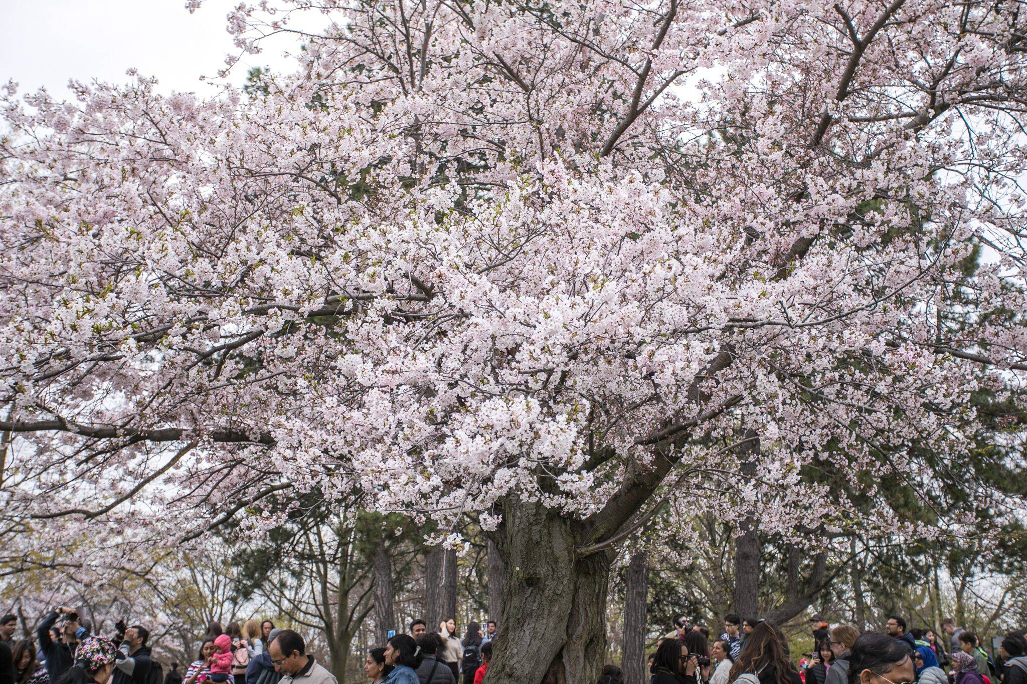 cherry blossoms high park 2021