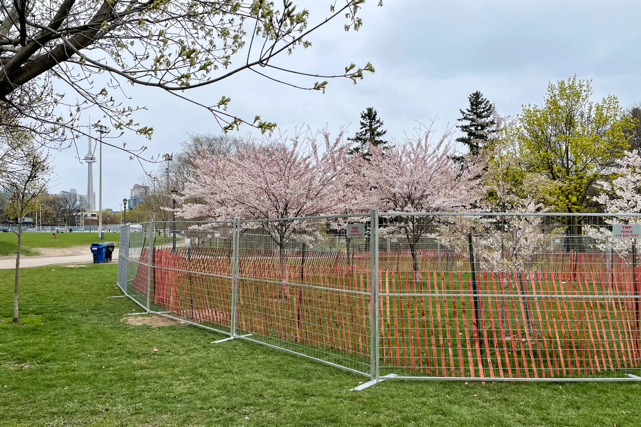 toronto cherry blossoms 2021