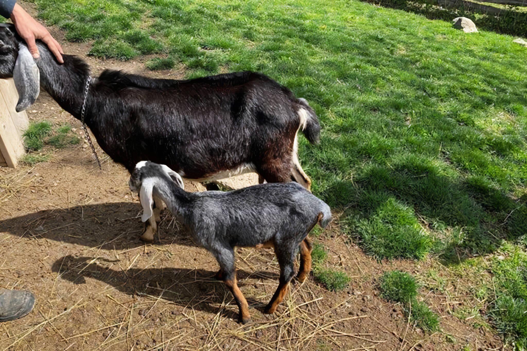 riverdale farm goat