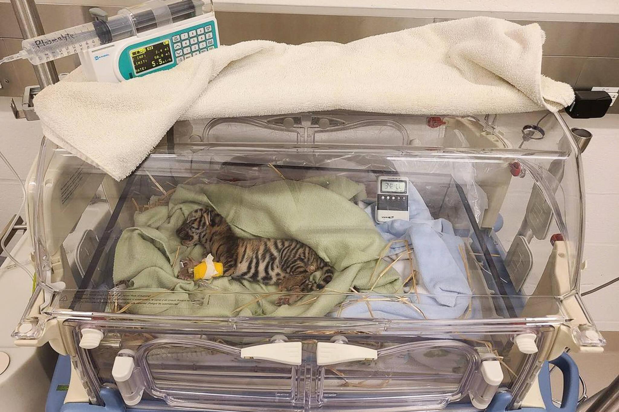 tiger cub toronto zoo