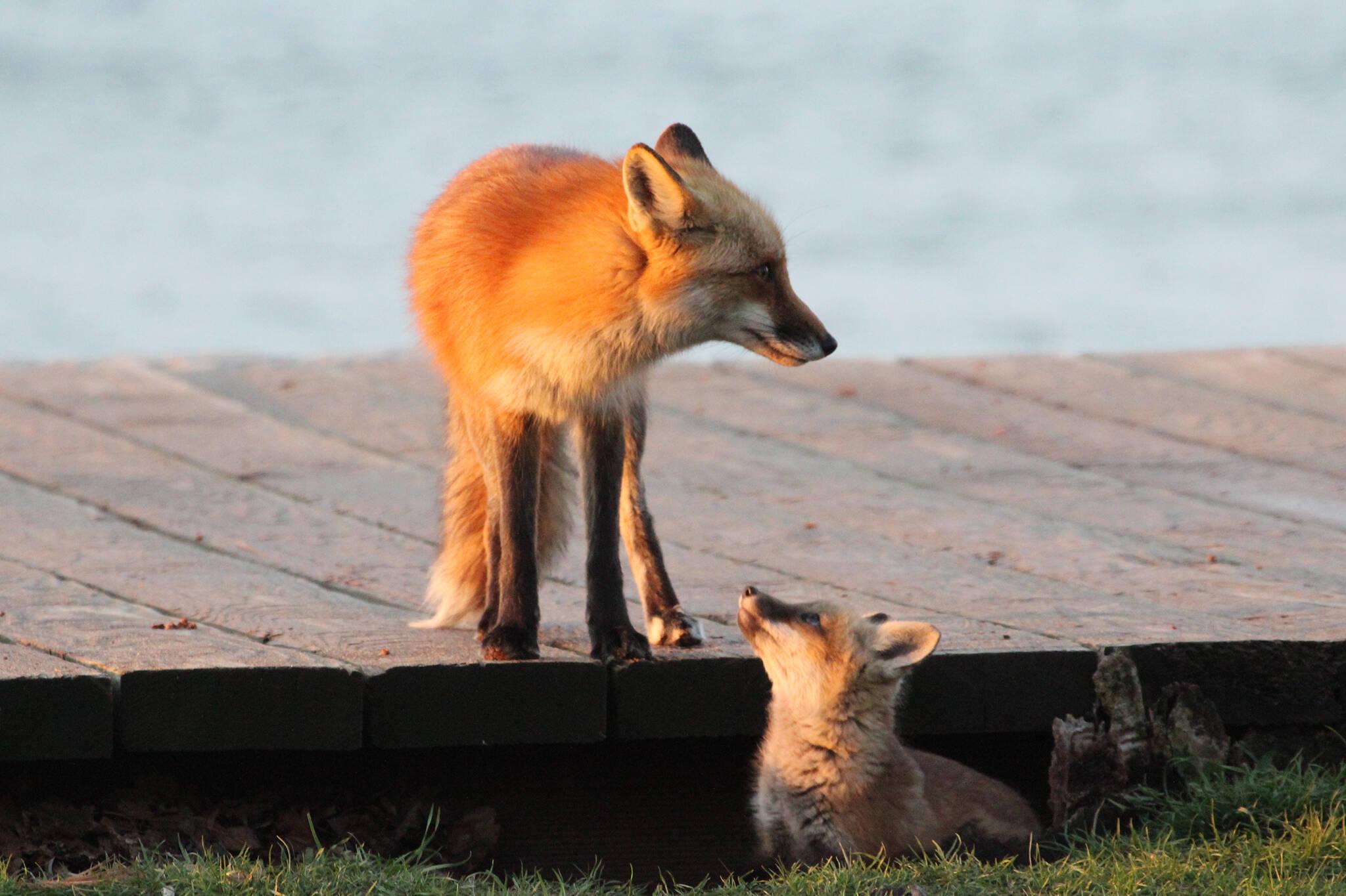 beaches foxes