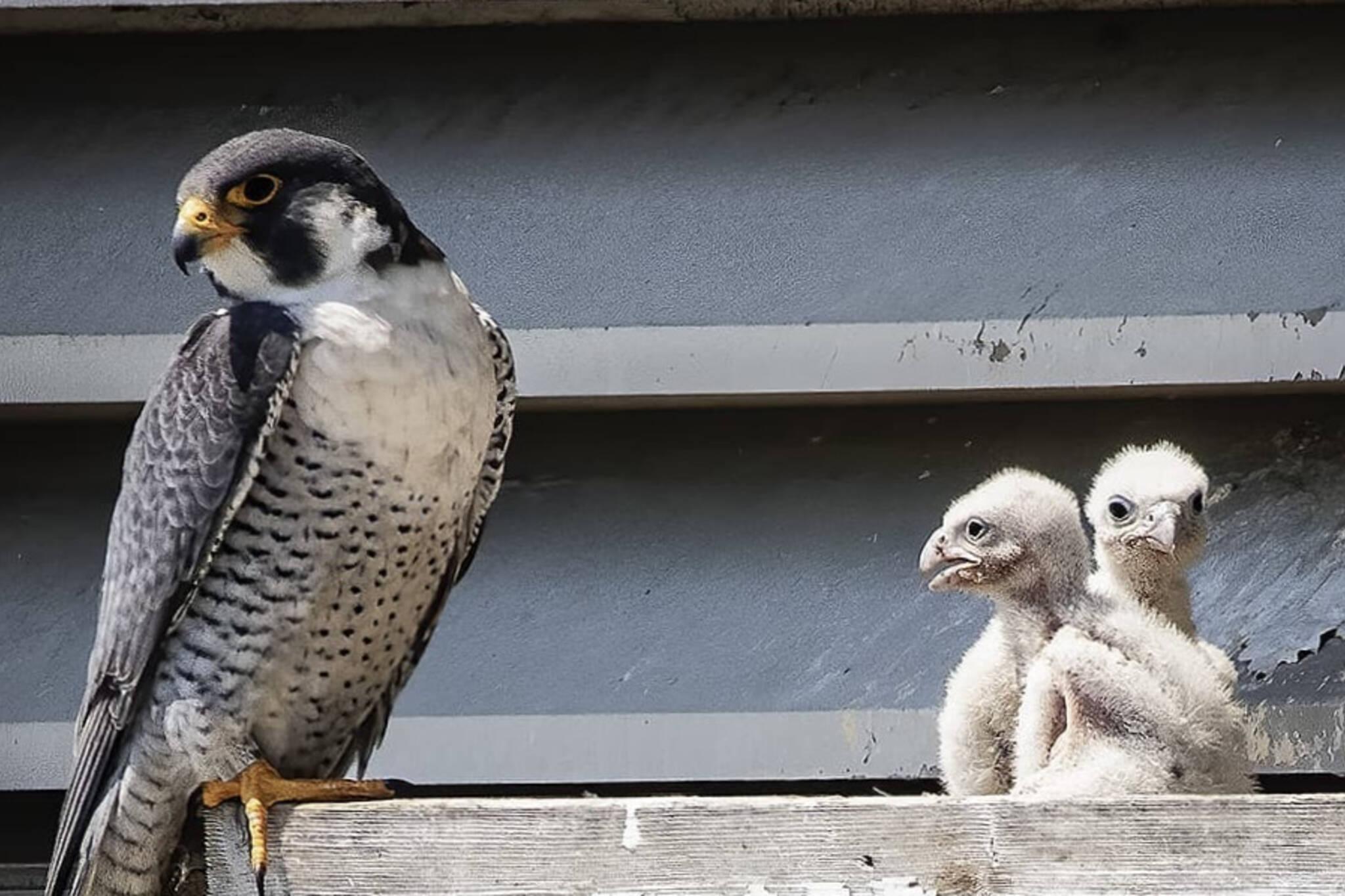 falcon toronto