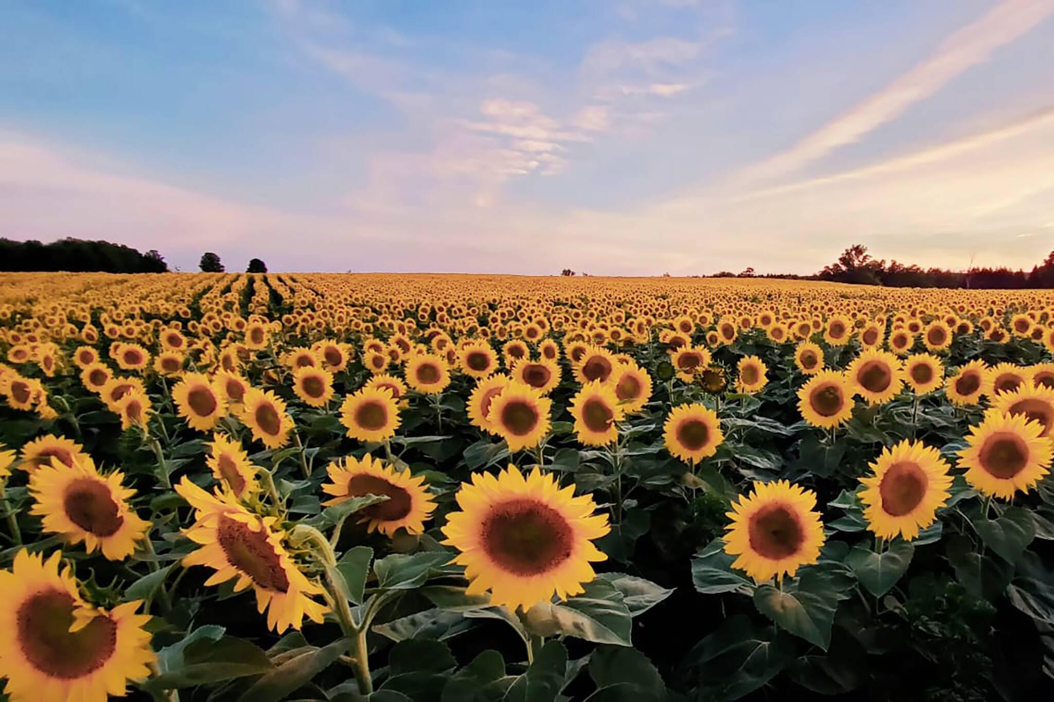 sunflower farm ontario