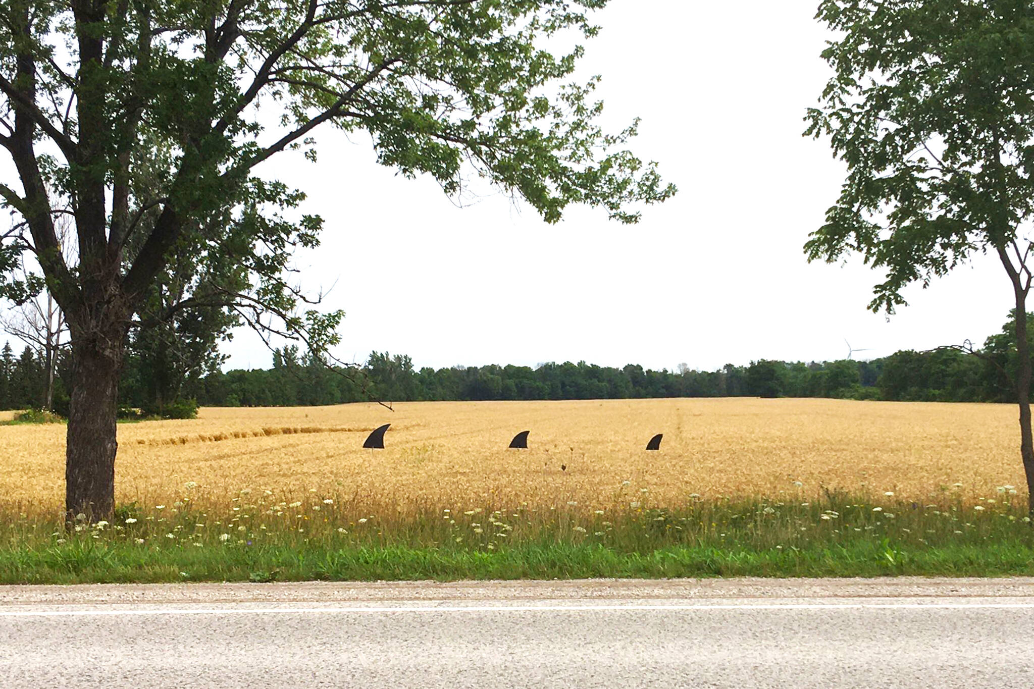 wheat fins