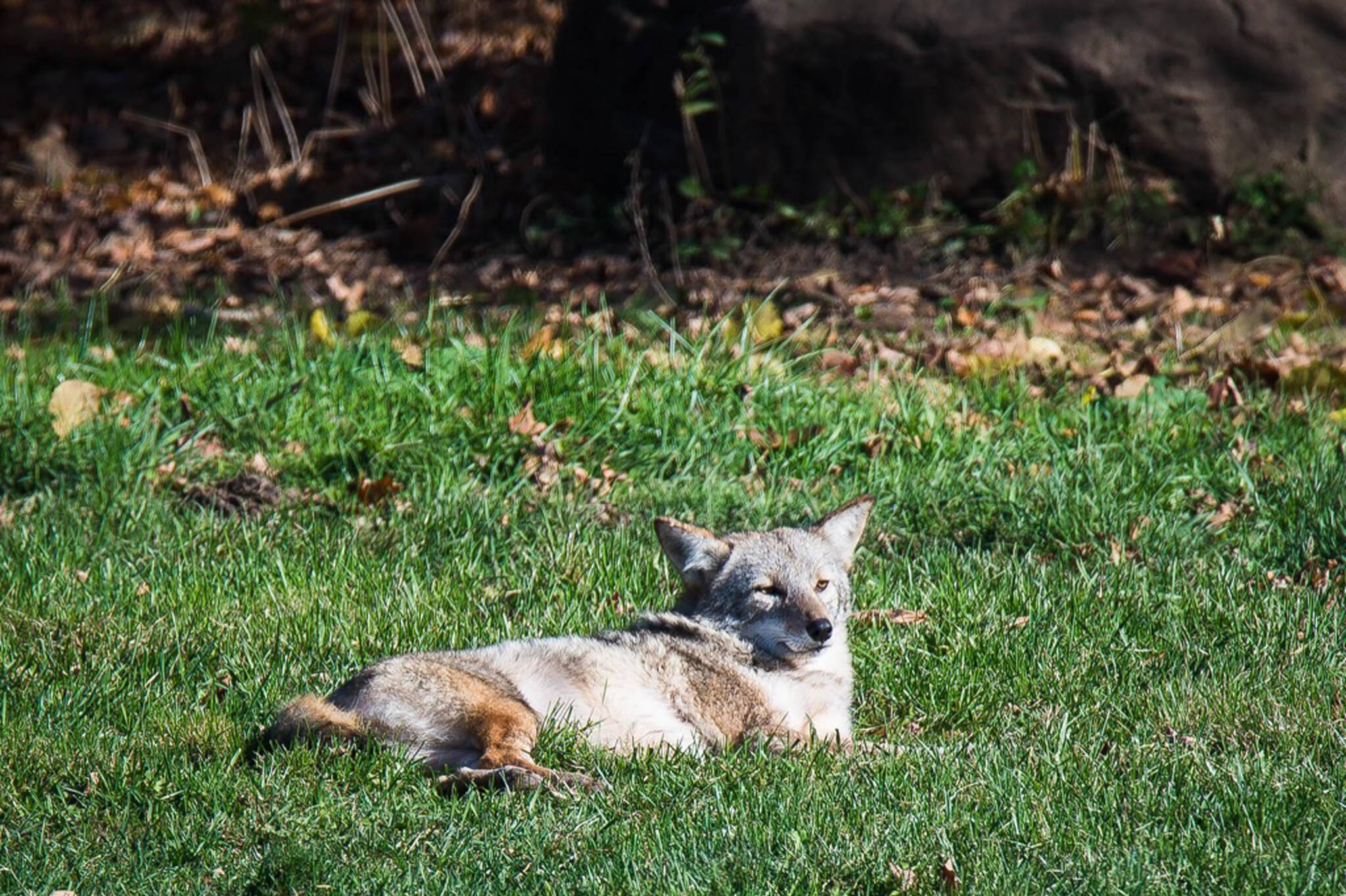toronto coyote