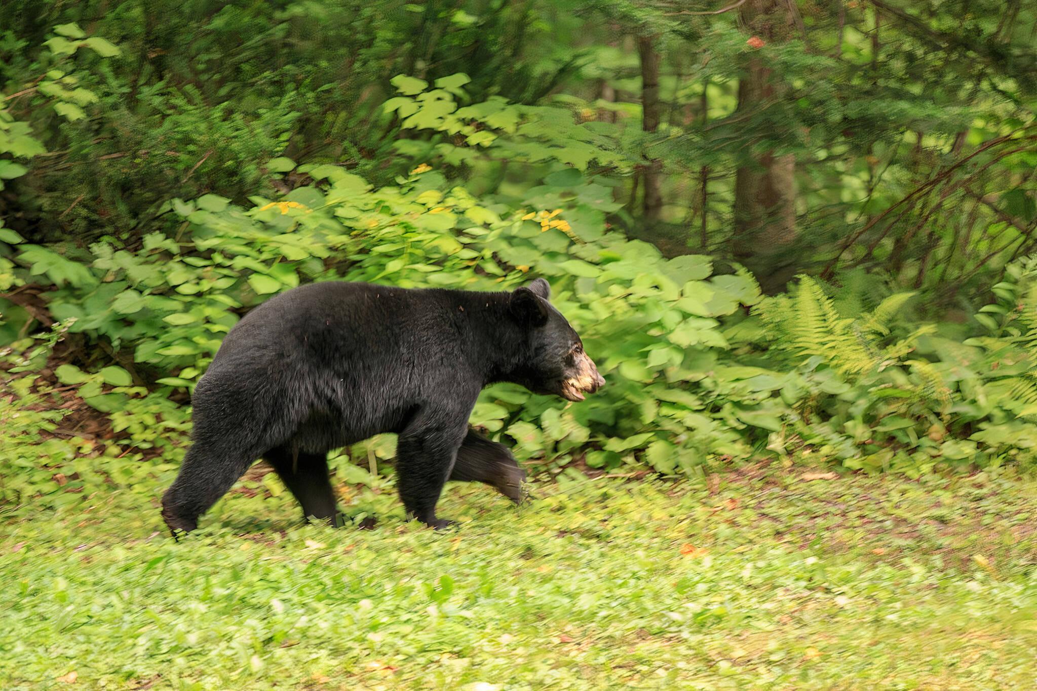 black bear ontario