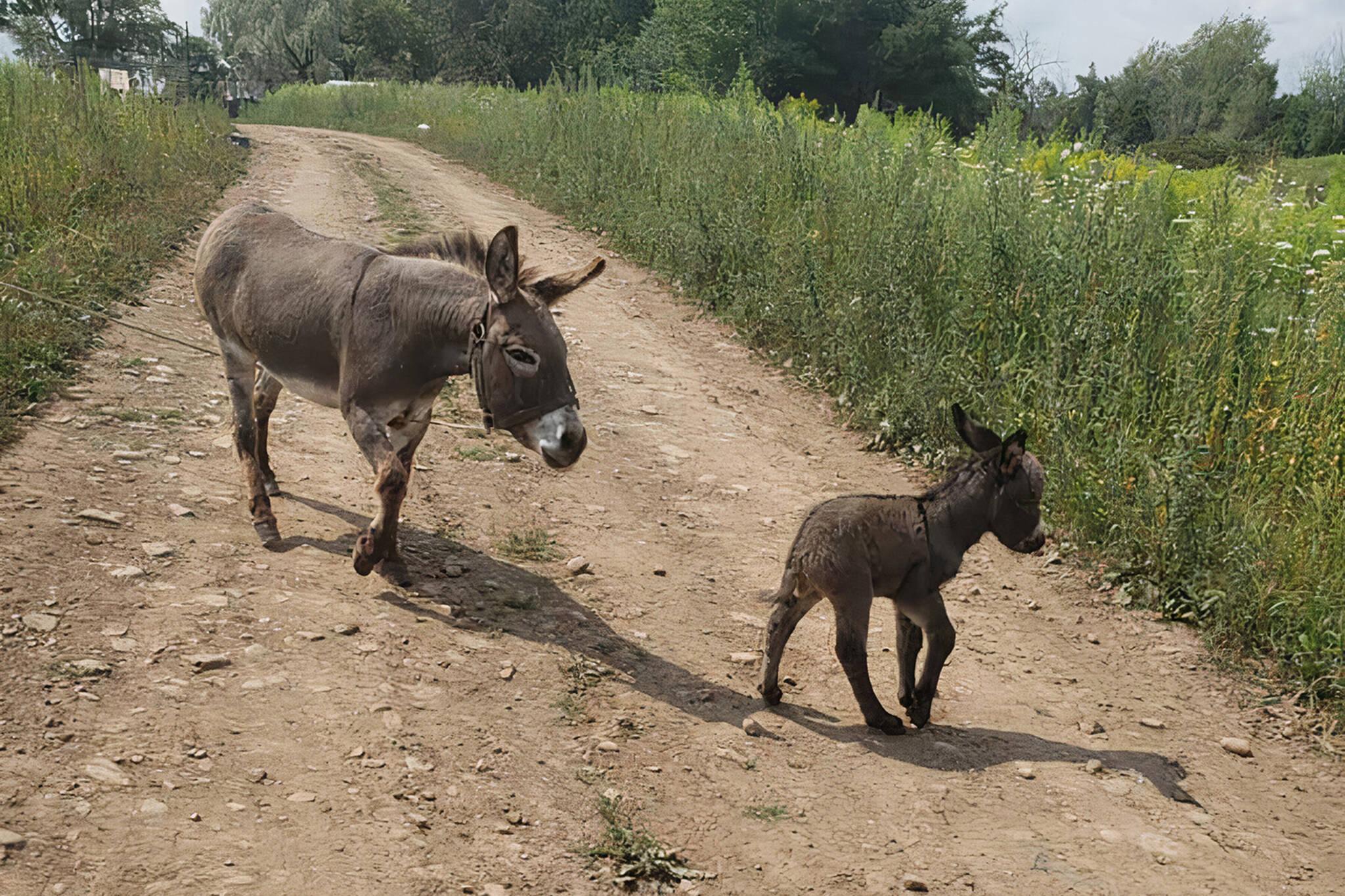 donkey stolen