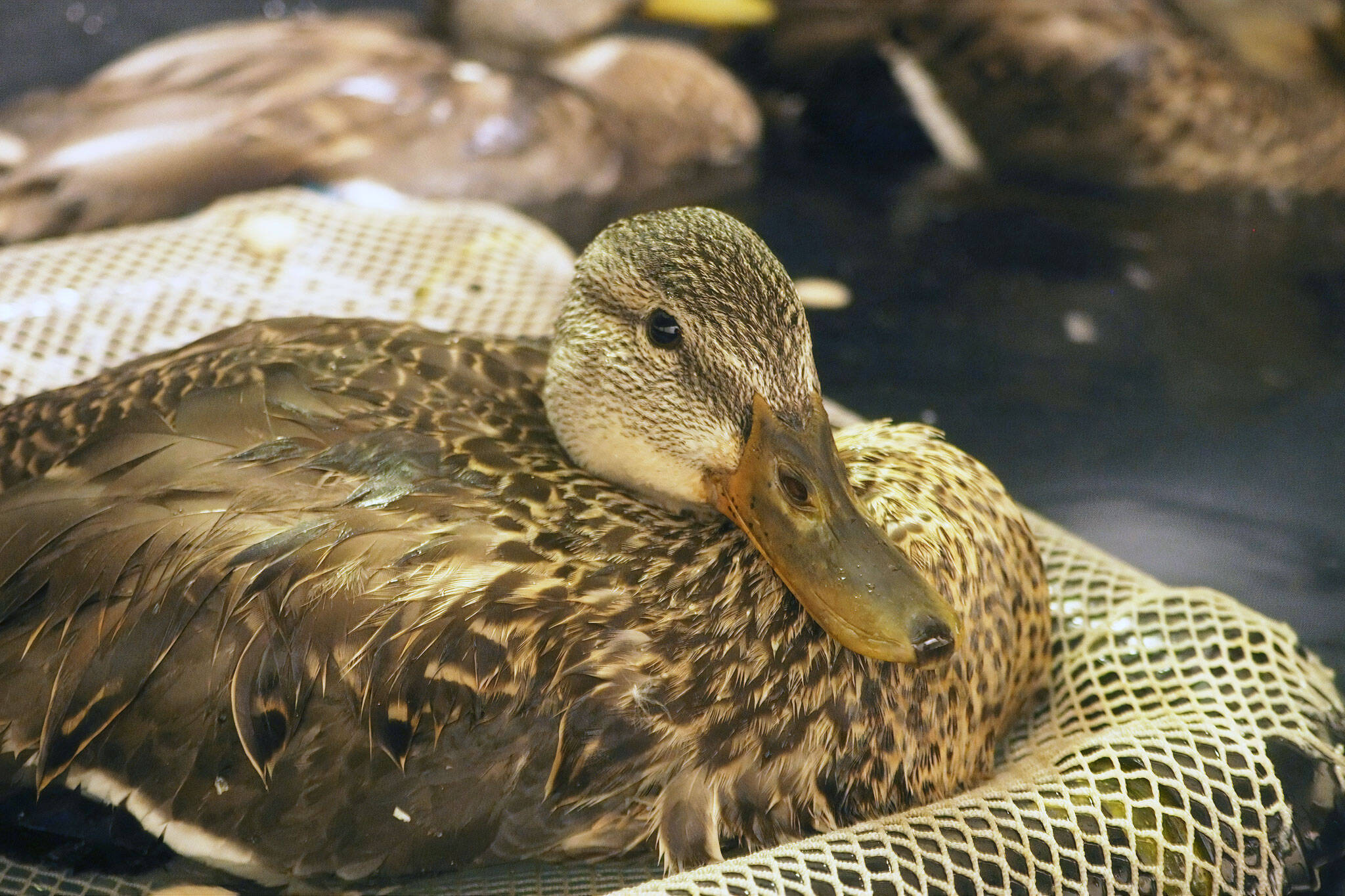 toronto ducks