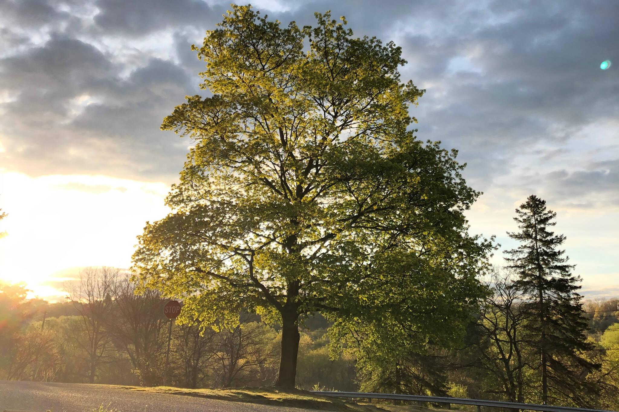 cricket tree toronto