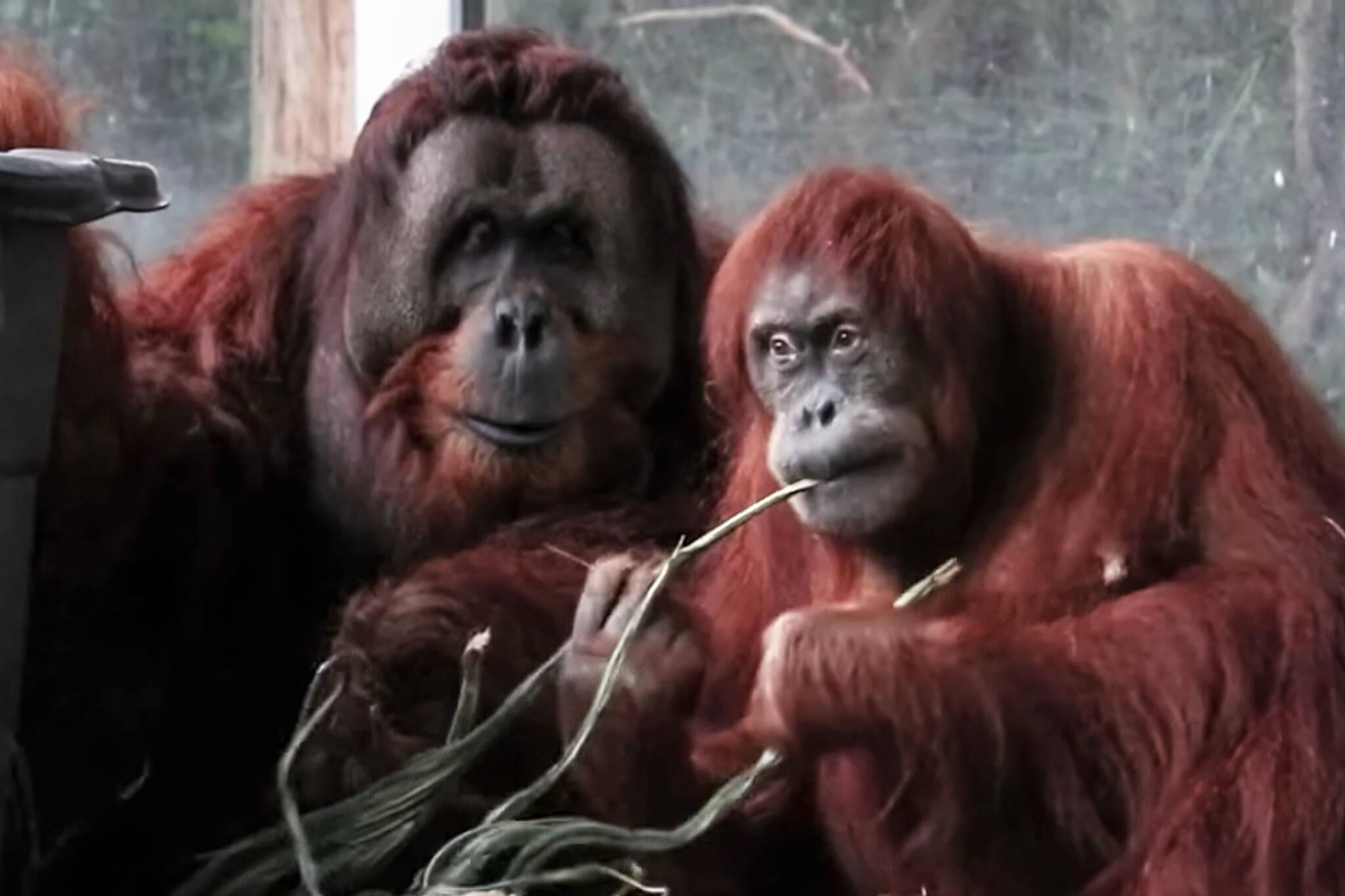 toronto zoo orangutans
