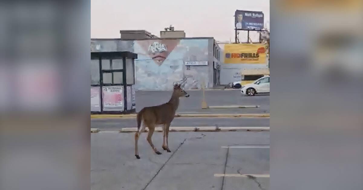 トロントのフリルのない駐車場でぶらぶらしている鹿を発見