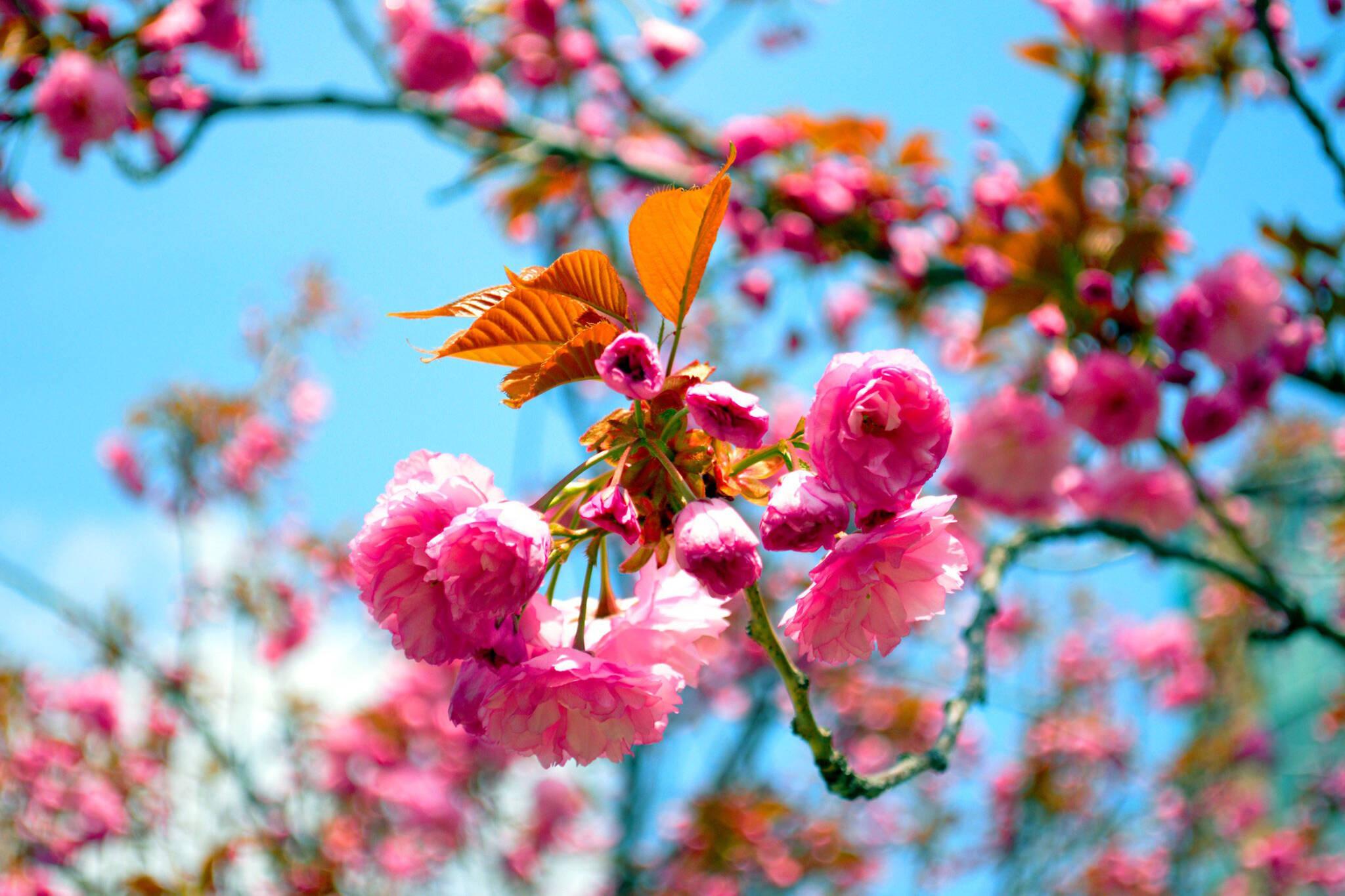 kariya park cherry blossoms