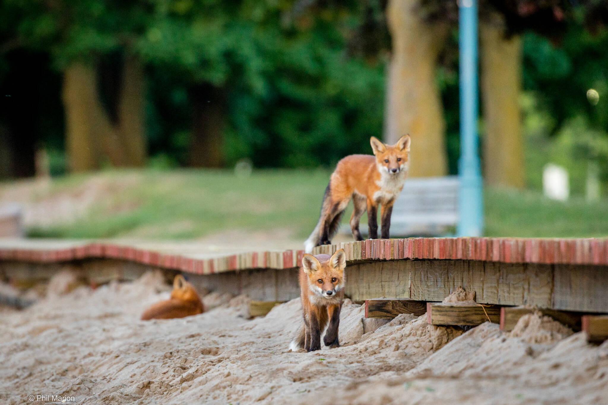 foxes toronto