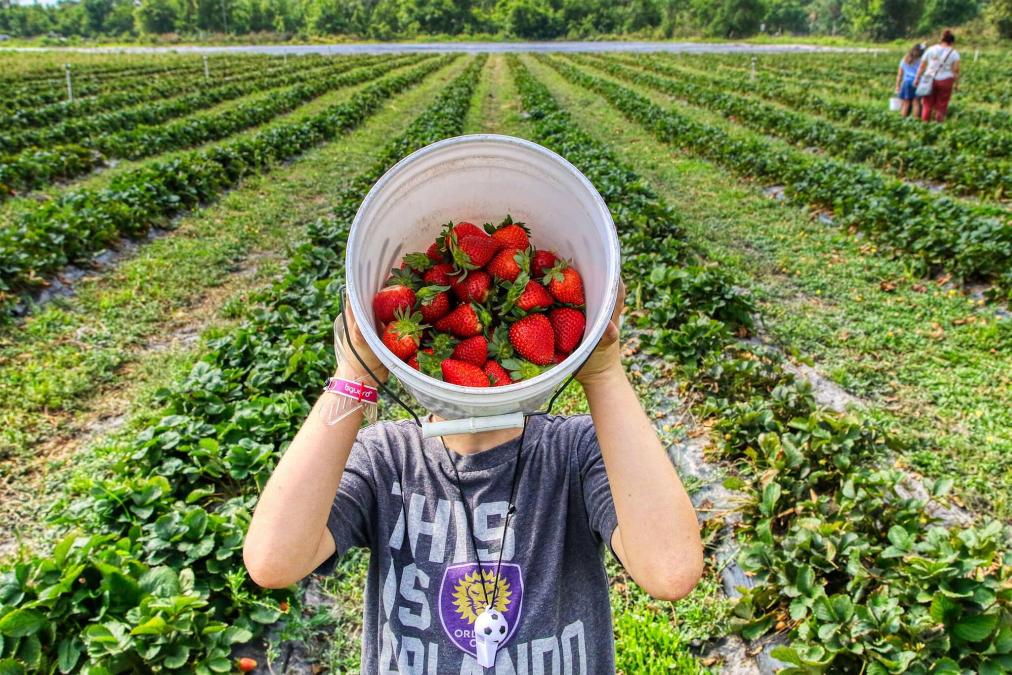 strawberry picking toronto