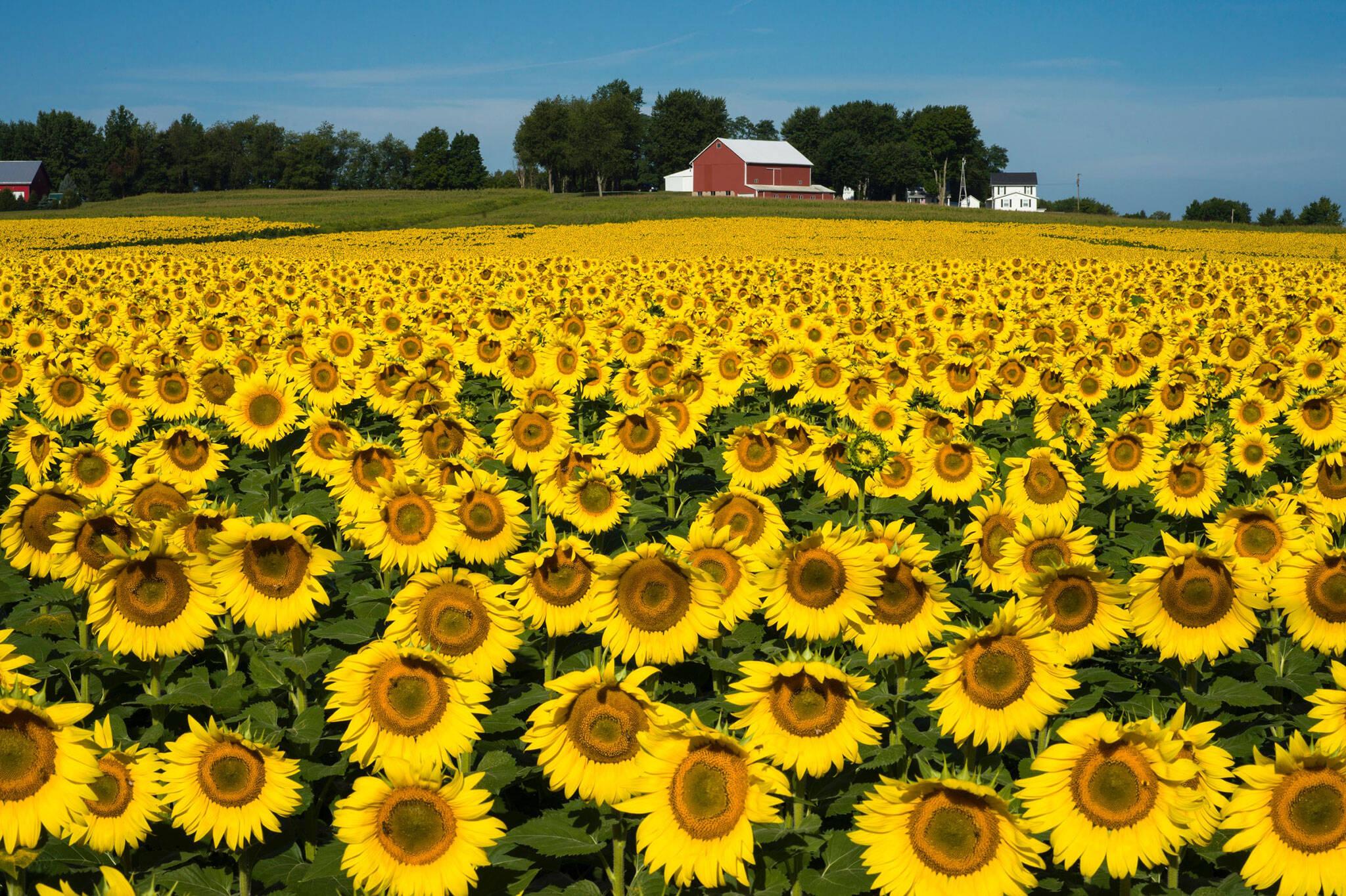 sunflowers of elora