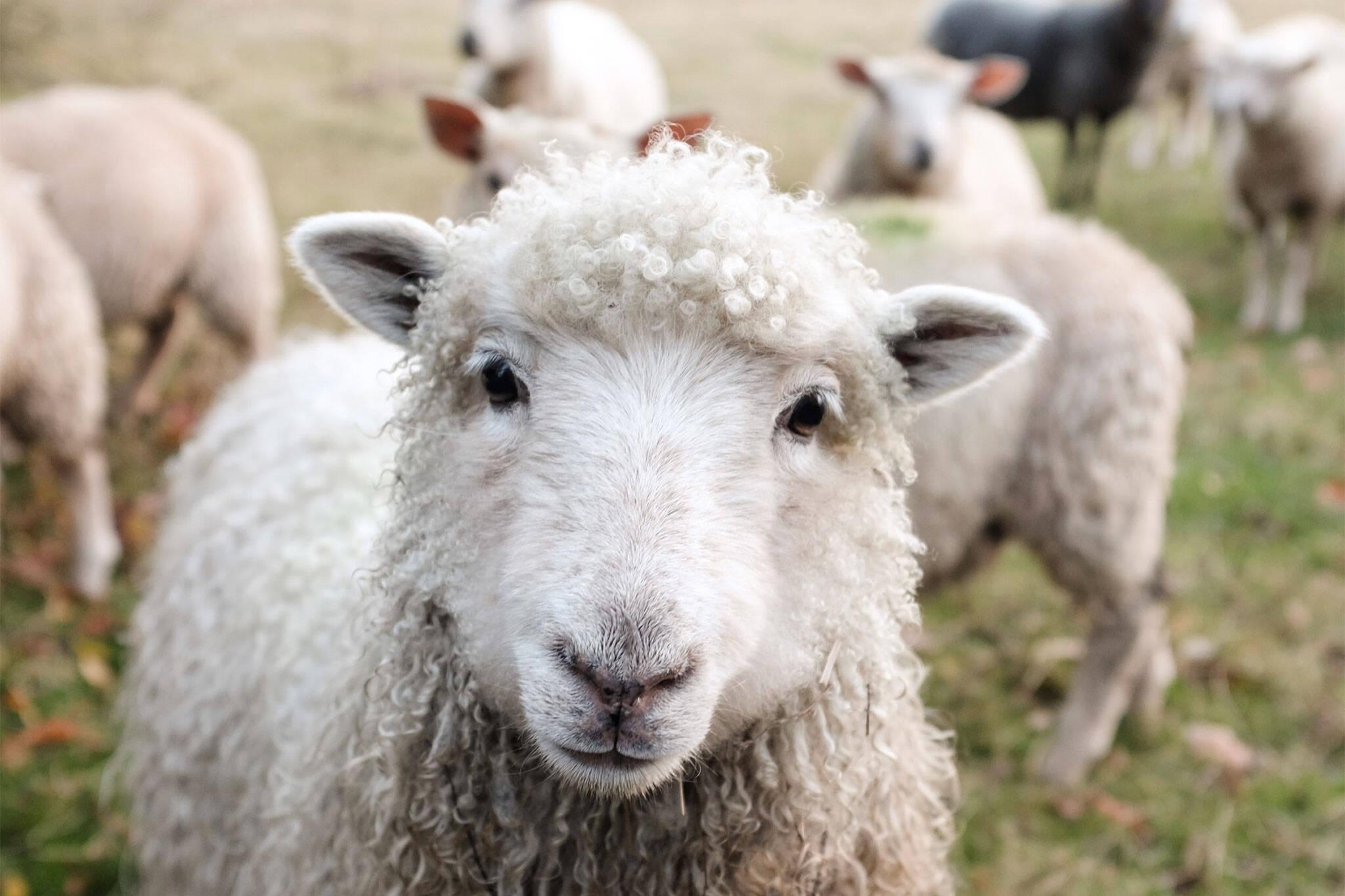 OVINO sheep farm