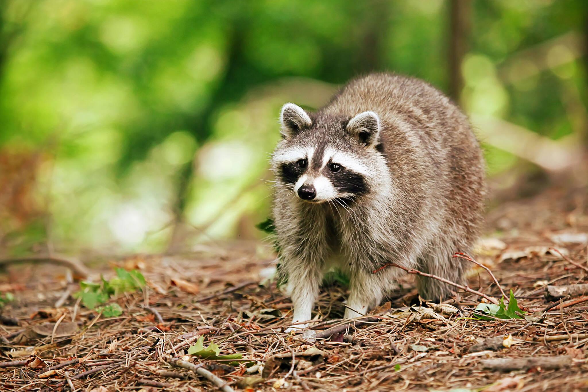 raccoons toronto