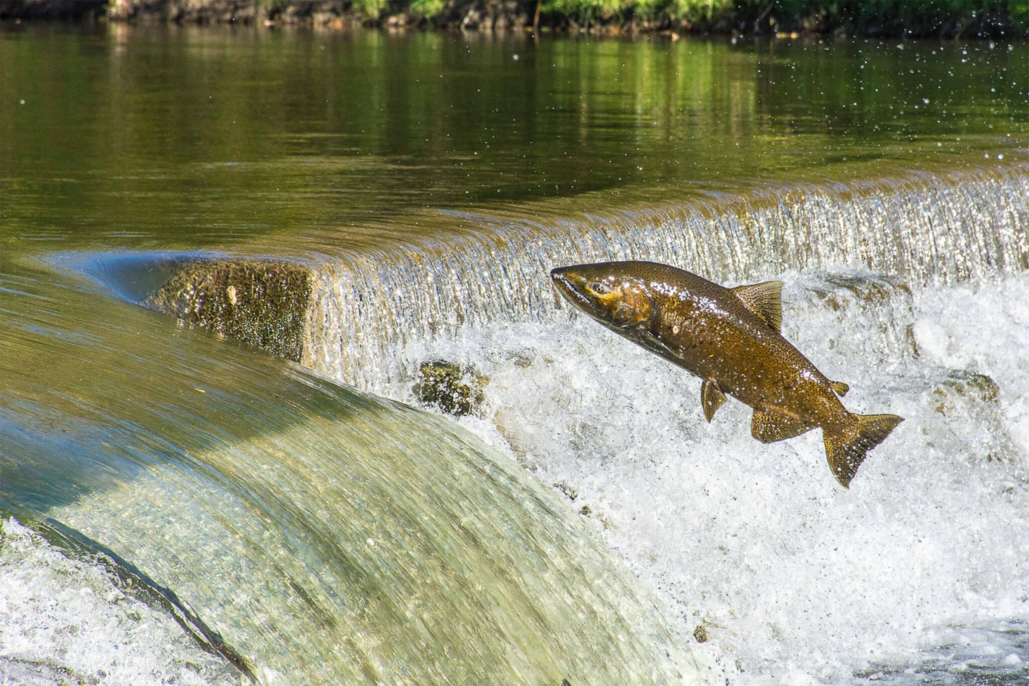humber river salmon run